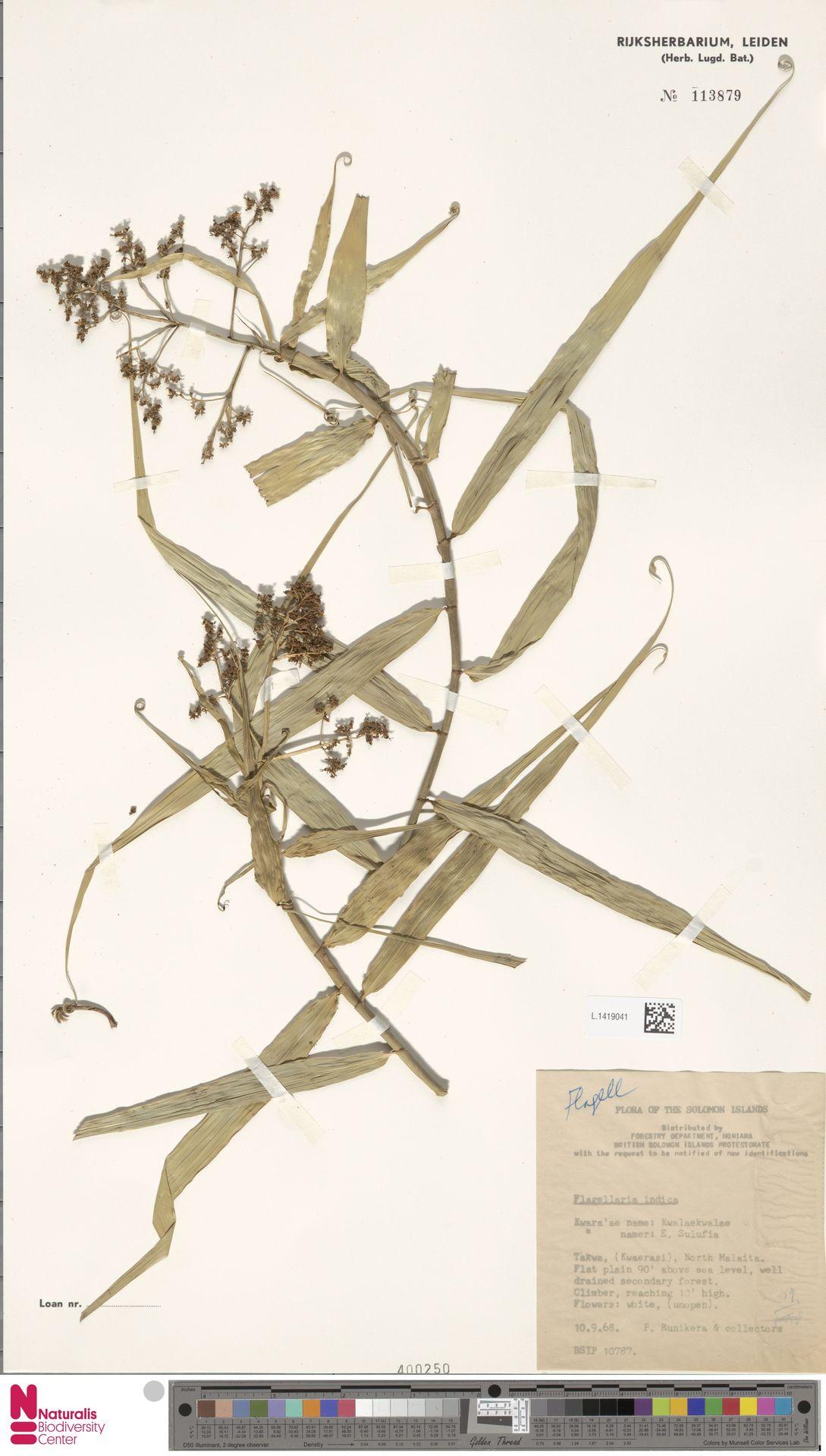 L.1419041 | Flagellaria indica L.