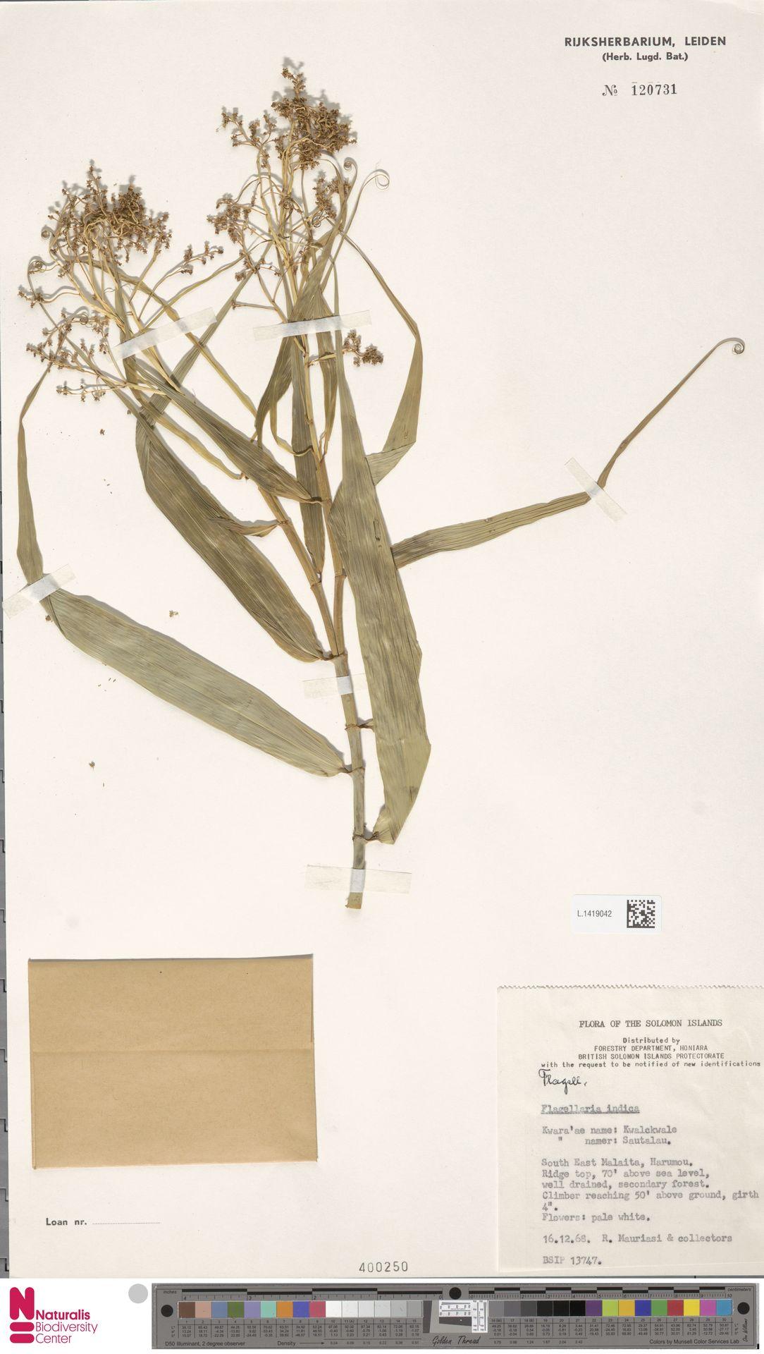 L.1419042 | Flagellaria indica L.