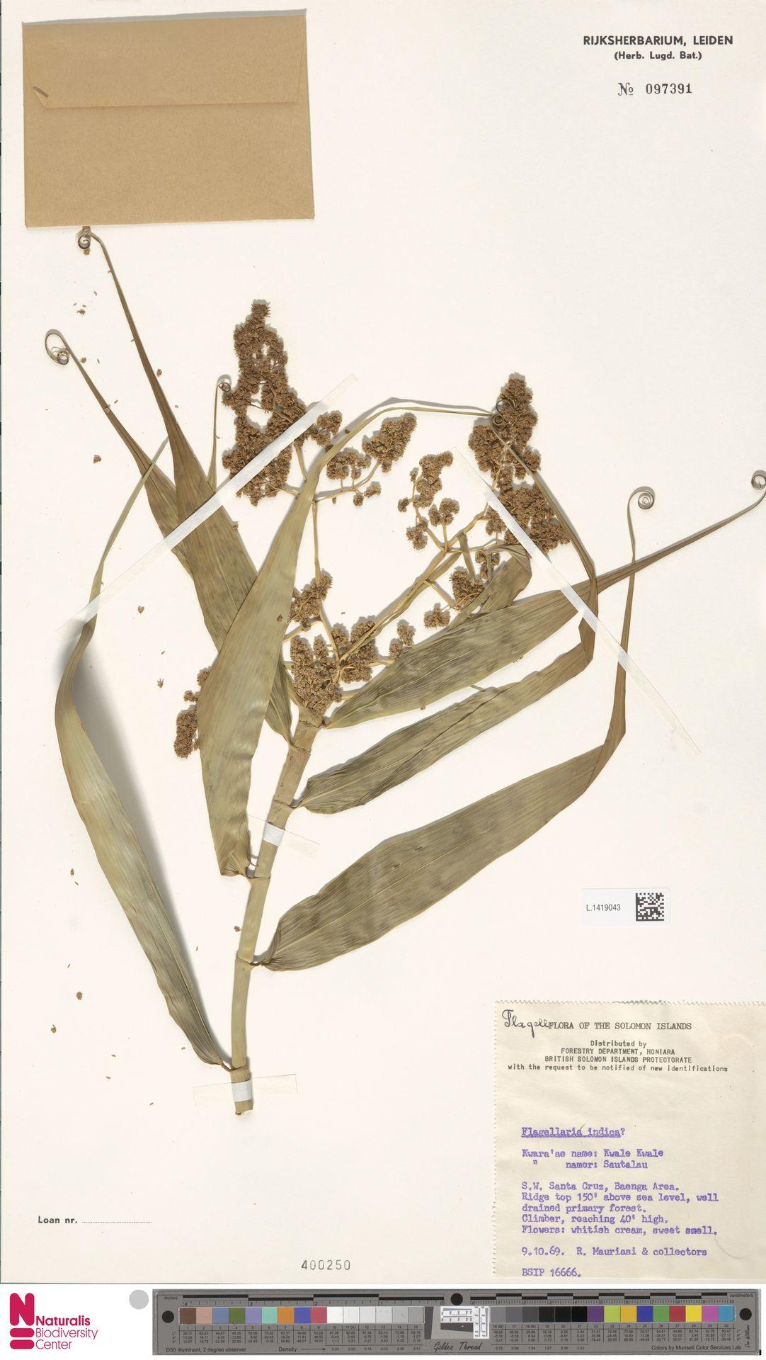 L.1419043 | Flagellaria indica L.