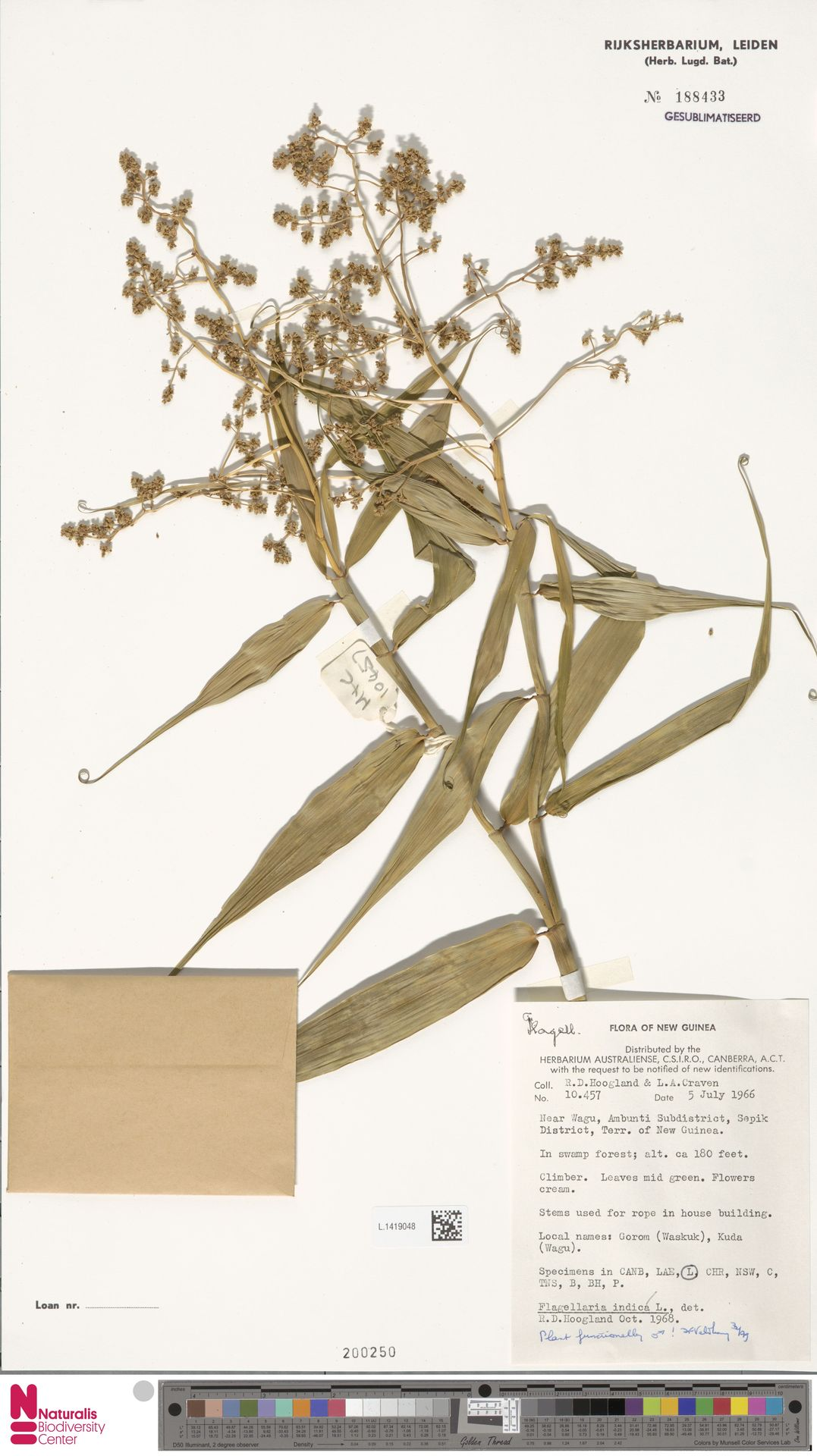 L.1419048 | Flagellaria indica L.
