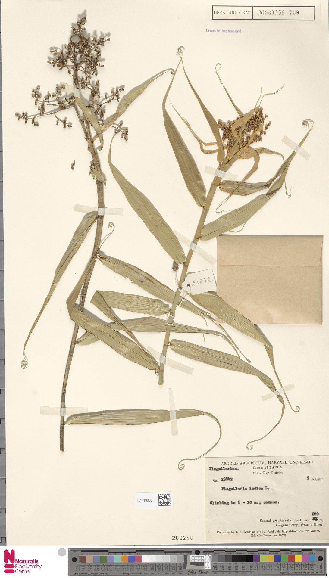 L.1419050 | Flagellaria indica L.
