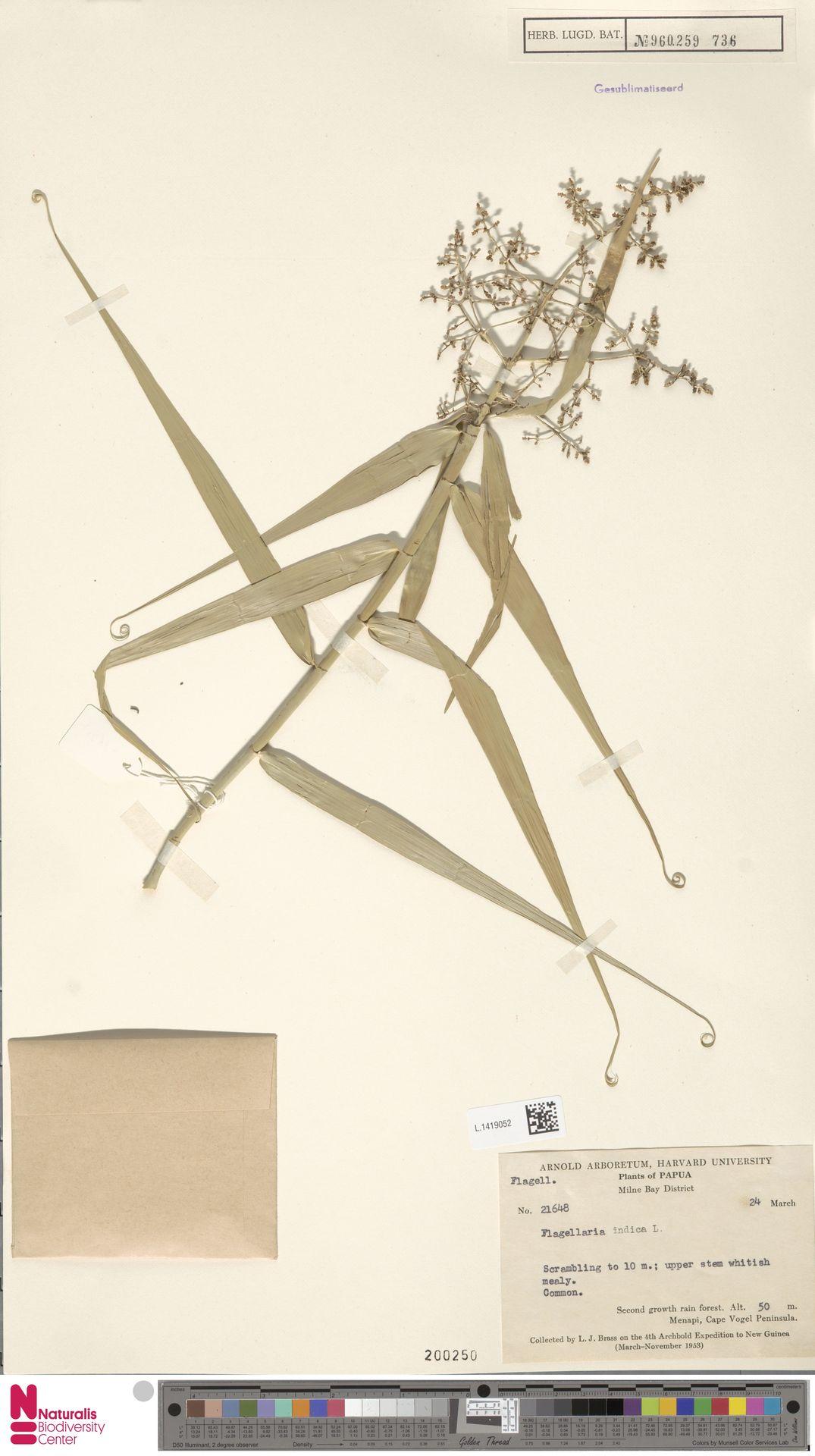 L.1419052 | Flagellaria indica L.
