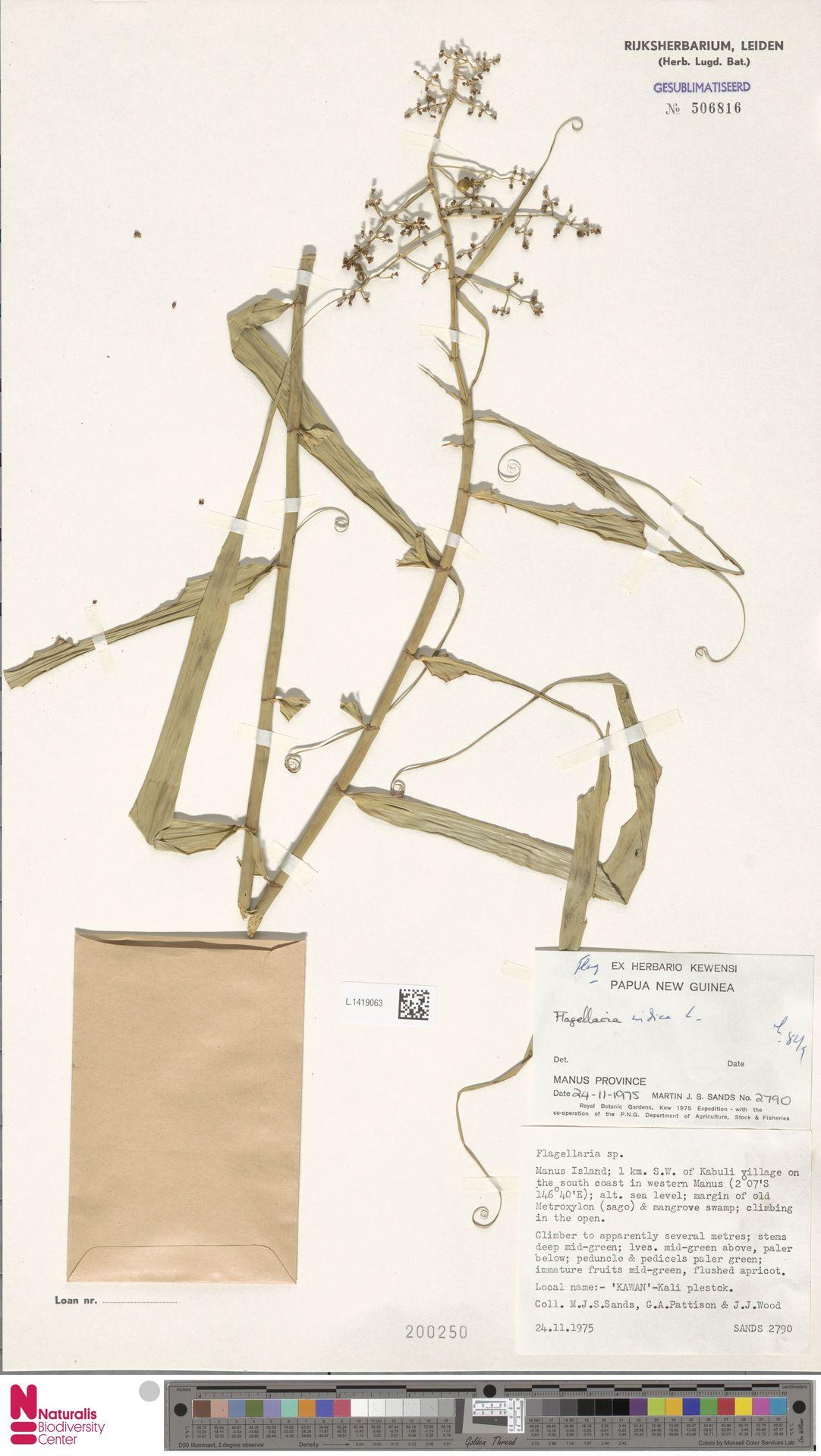 L.1419063 | Flagellaria indica L.