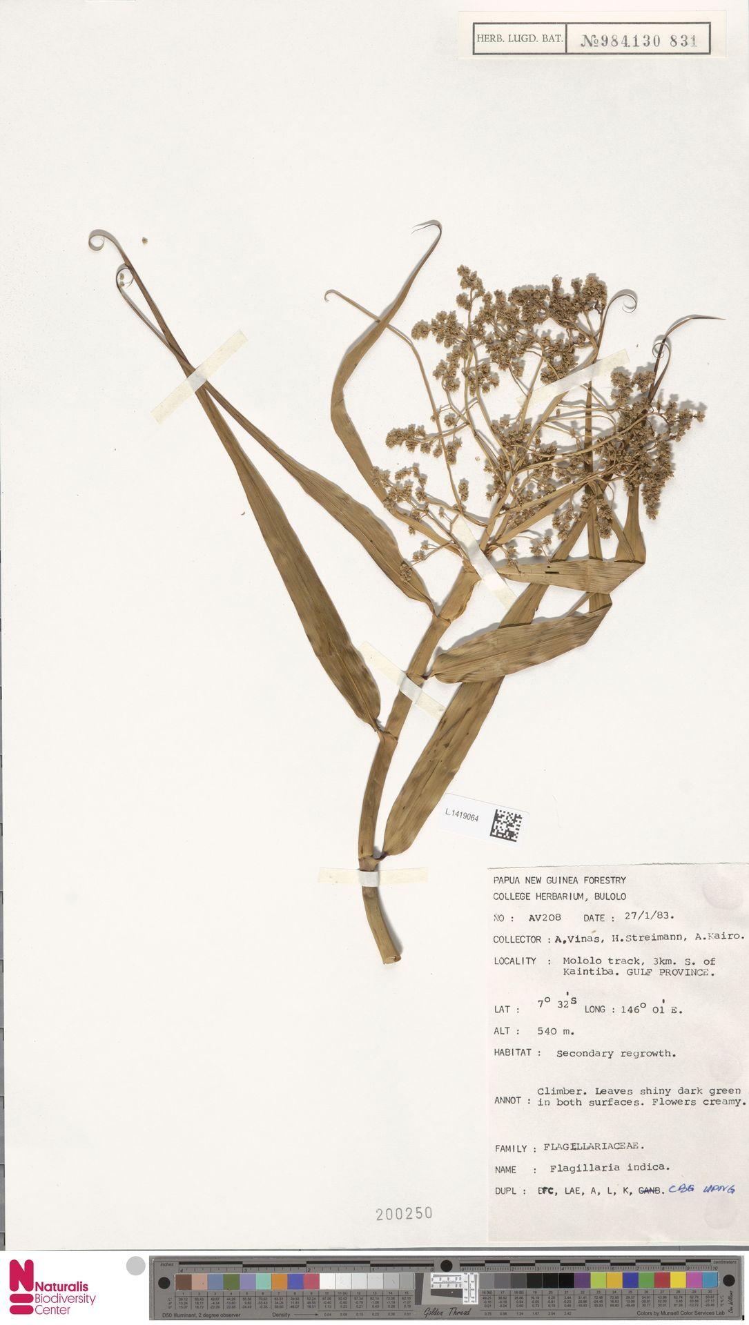 L.1419064 | Flagellaria indica L.