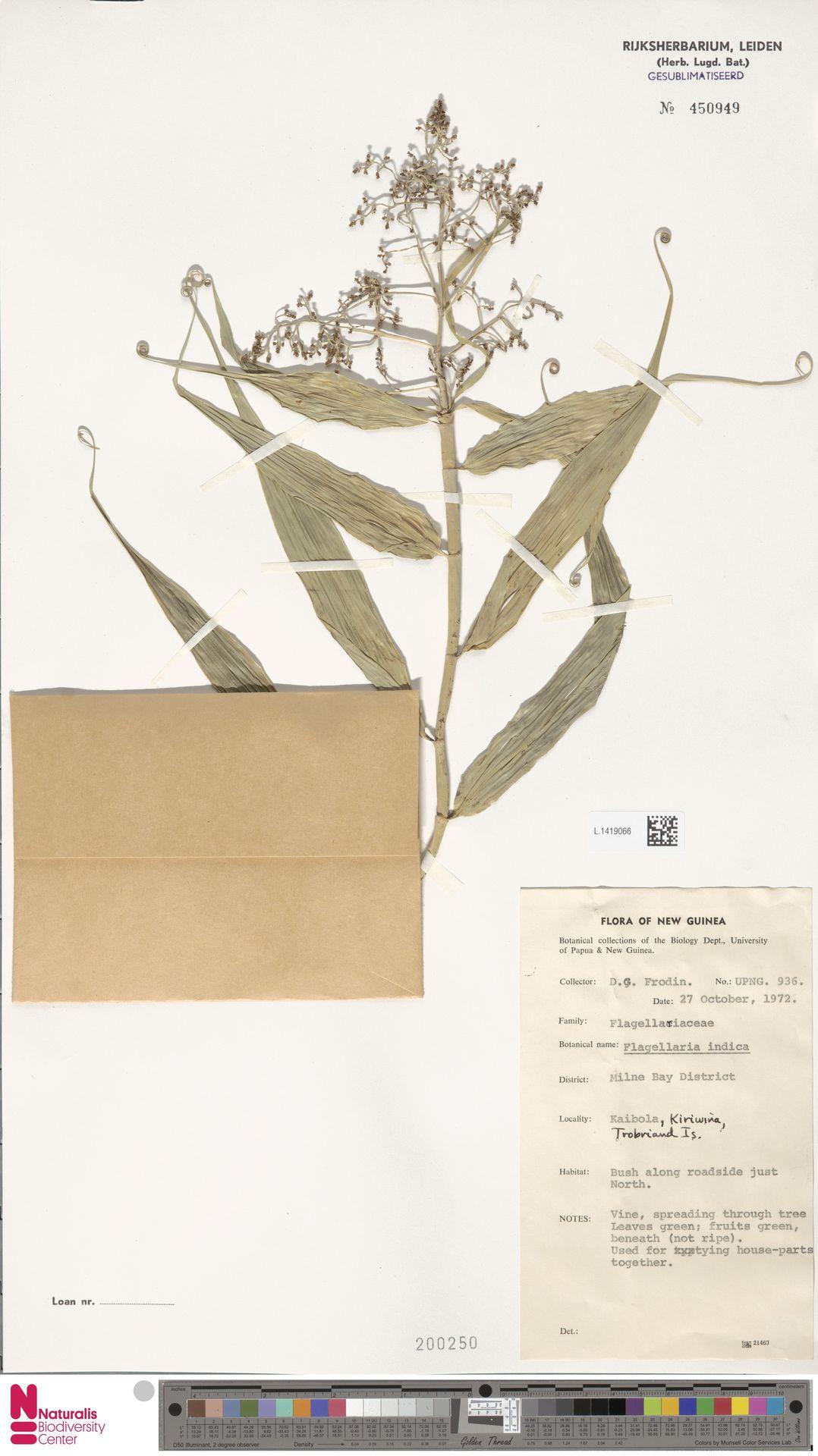 L.1419066 | Flagellaria indica L.