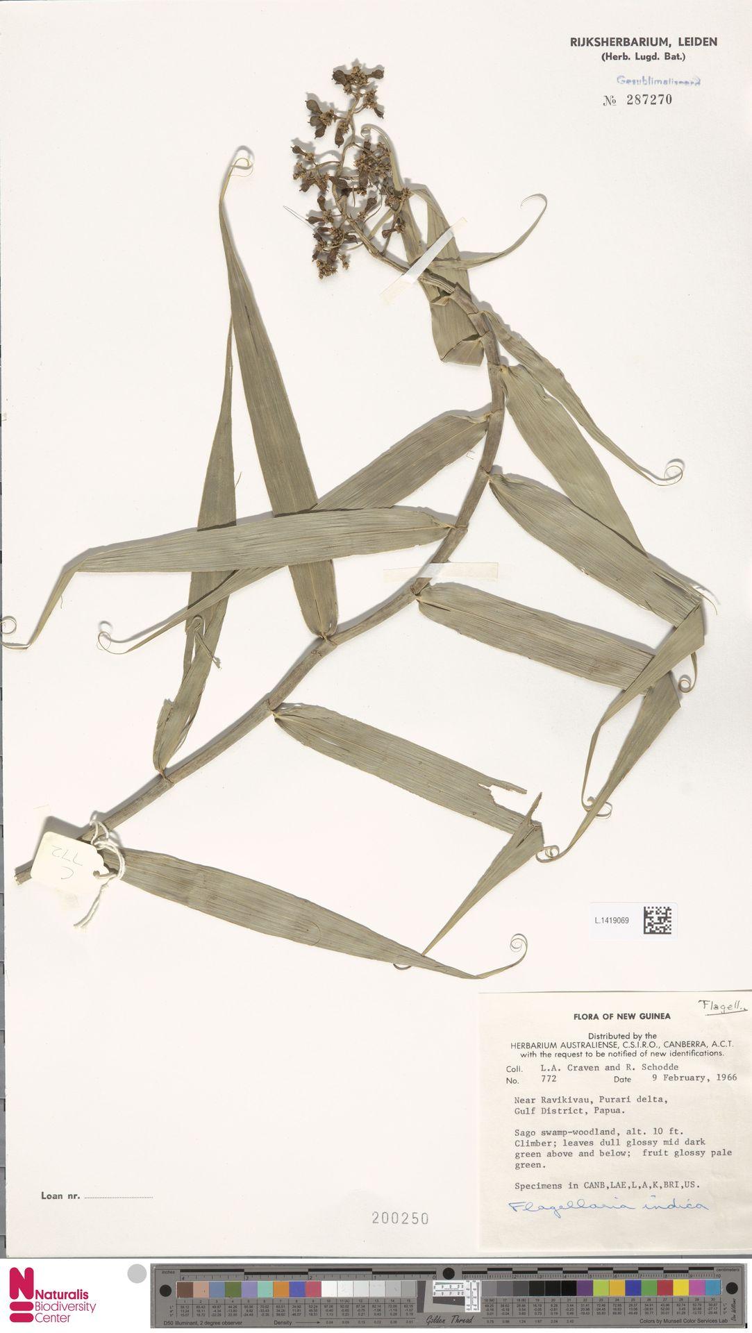 L.1419069 | Flagellaria indica L.