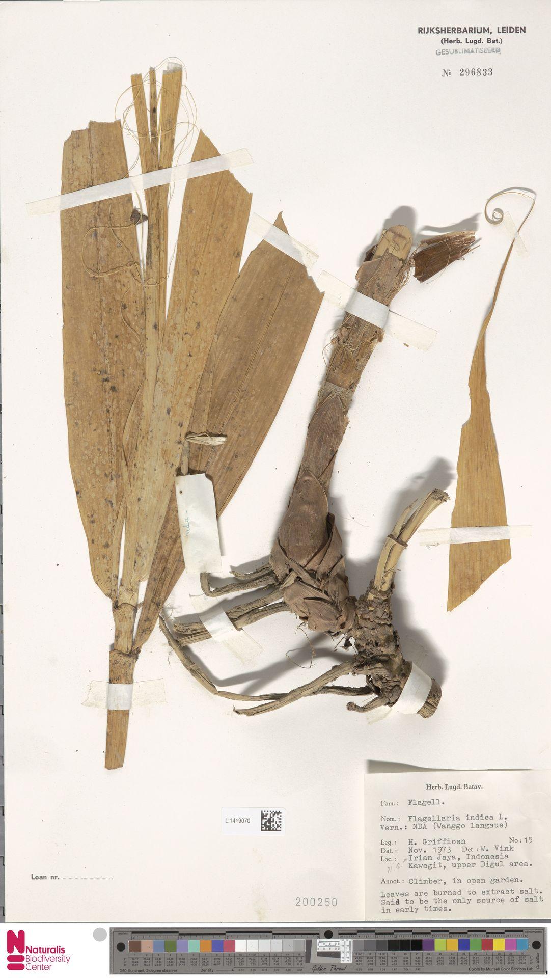 L.1419070 | Flagellaria indica L.