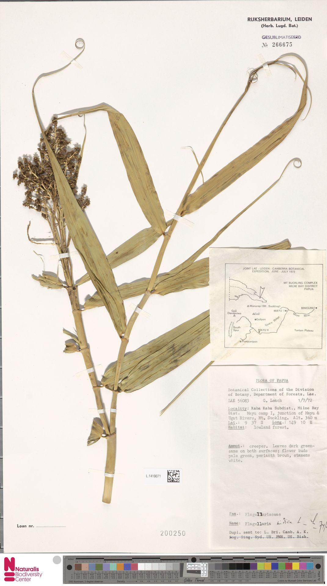 L.1419071 | Flagellaria indica L.