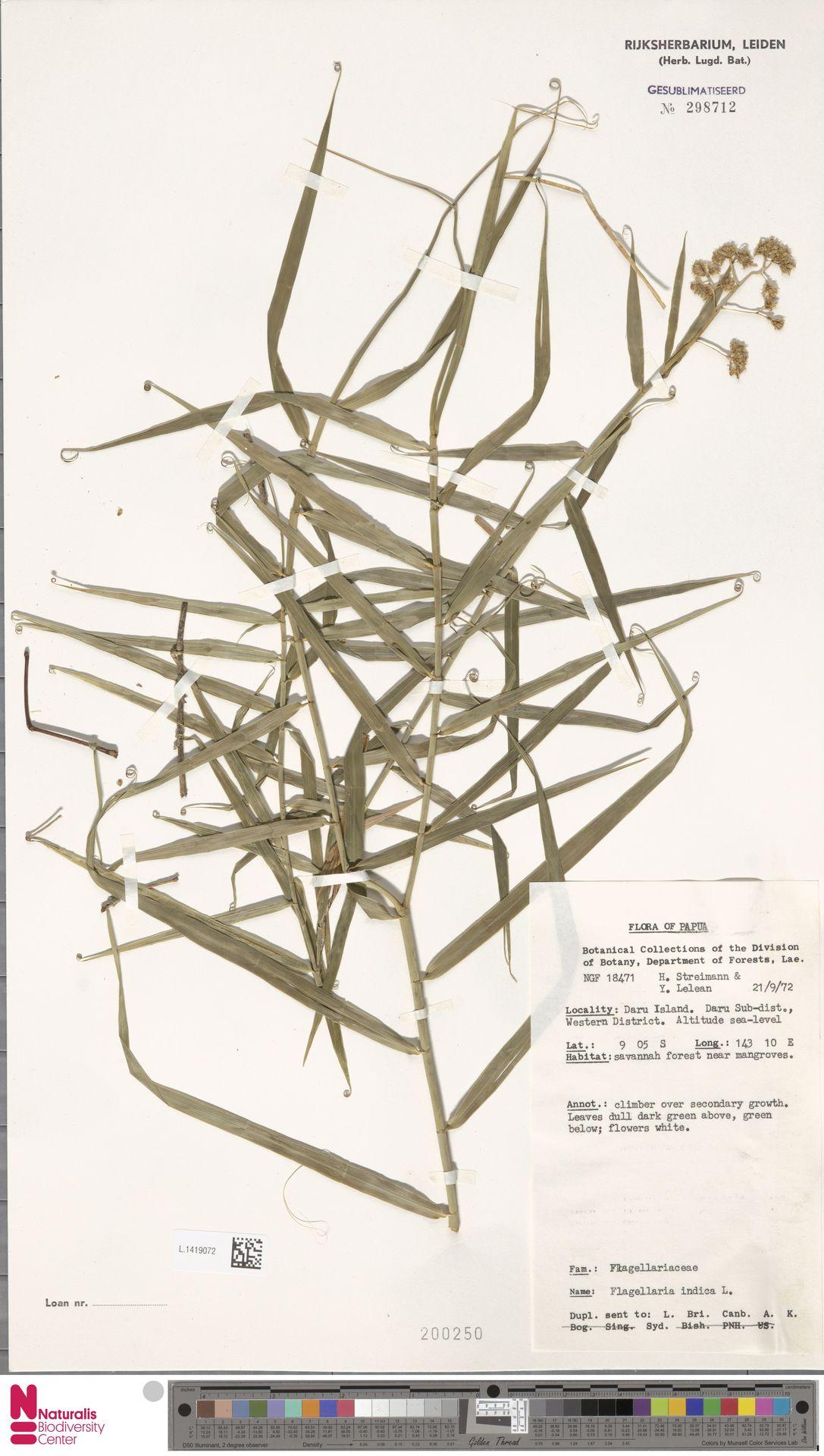 L.1419072 | Flagellaria indica L.