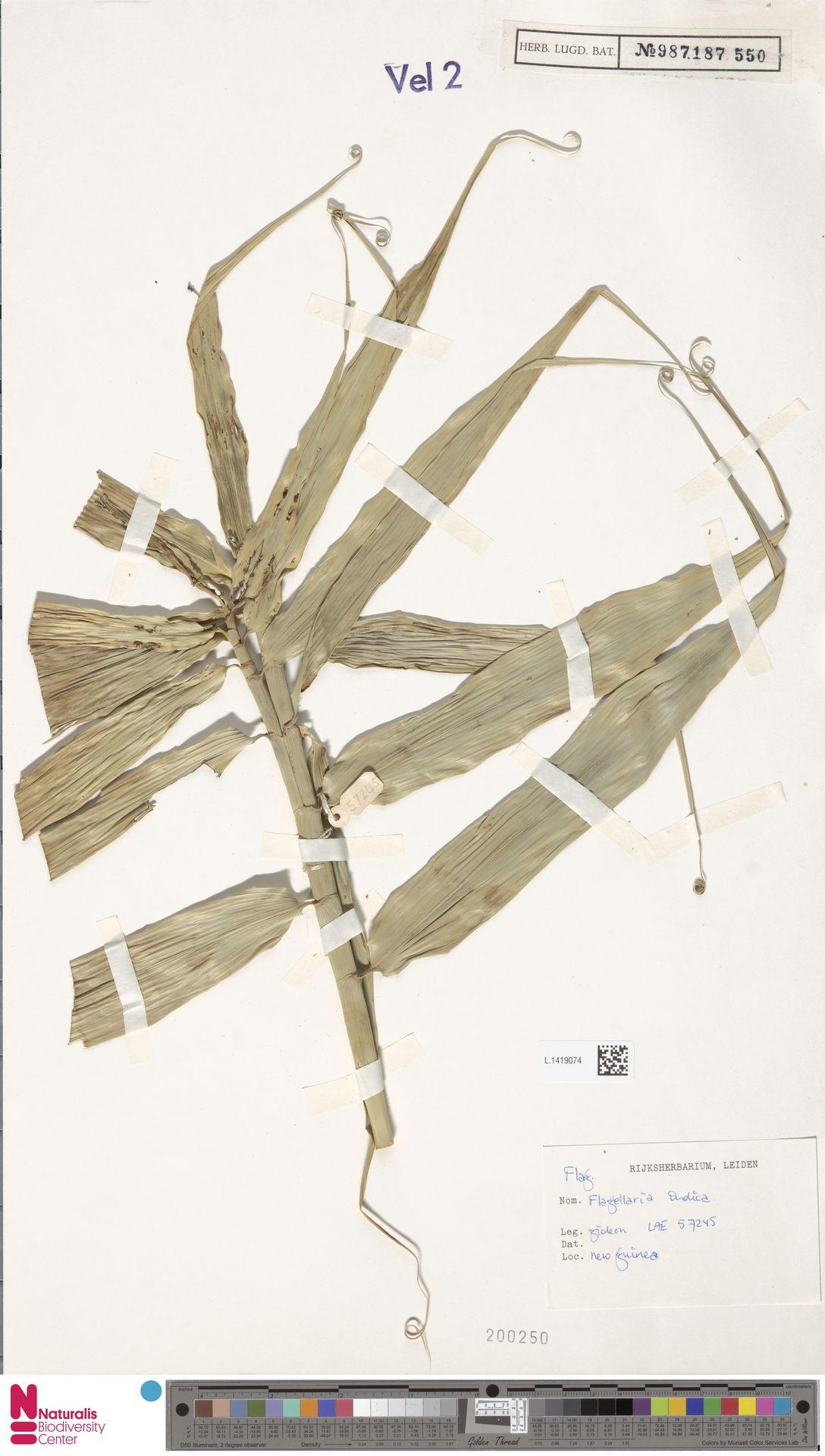 L.1419074 | Flagellaria indica L.