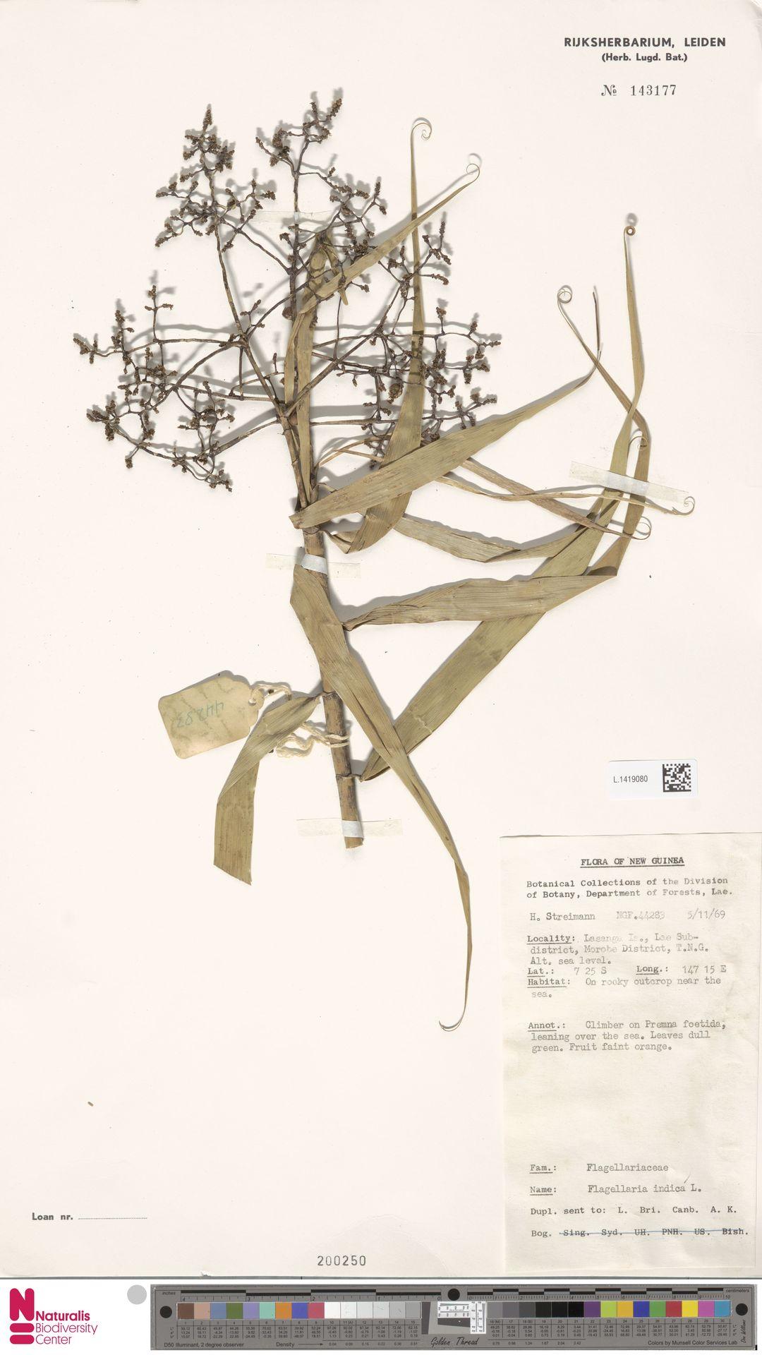 L.1419080 | Flagellaria indica L.