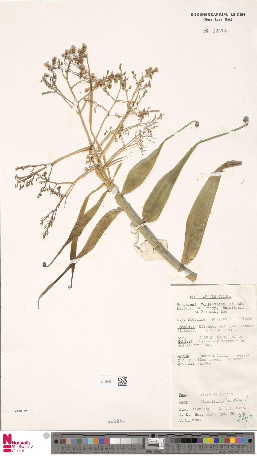 L.1419081 | Flagellaria indica L.