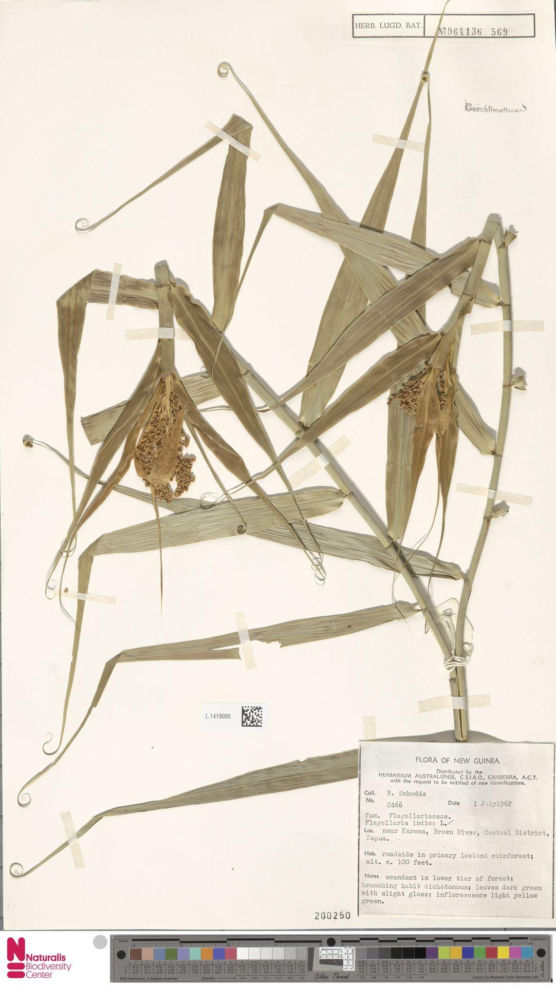 L.1419085 | Flagellaria indica L.