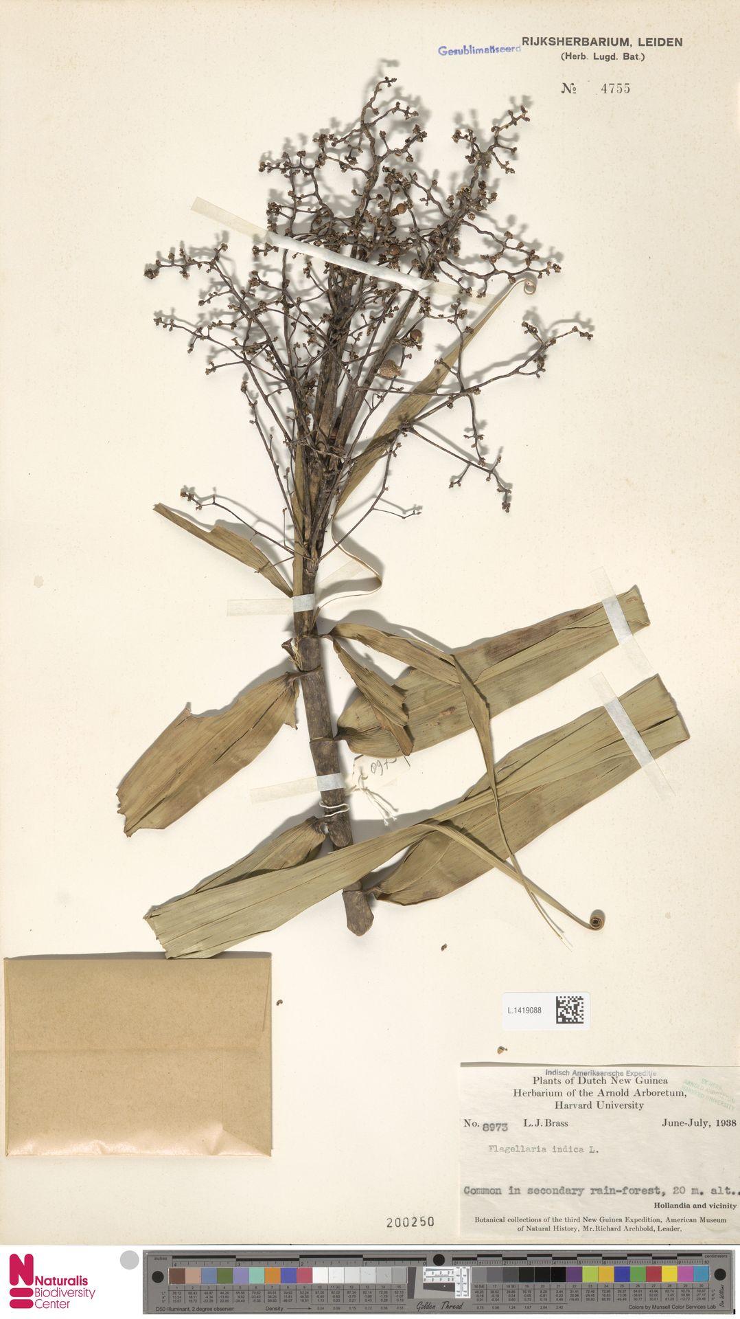 L.1419088 | Flagellaria indica L.