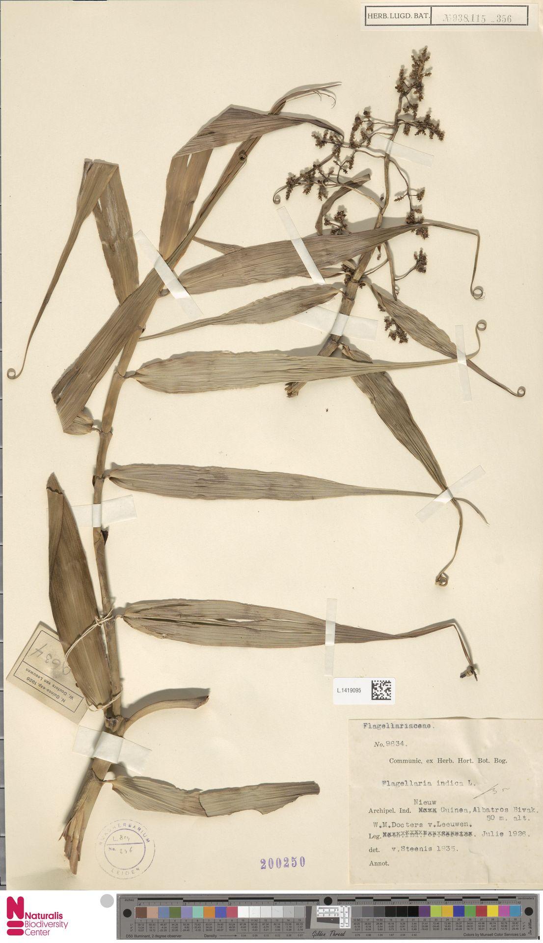 L.1419095   Flagellaria indica L.