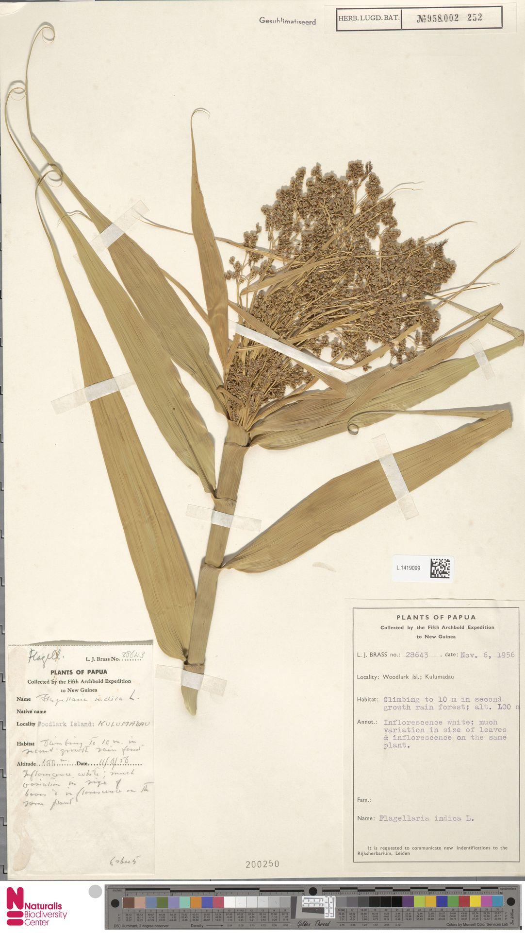 L.1419099 | Flagellaria indica L.
