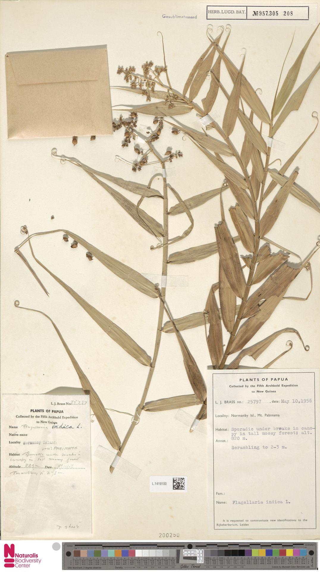 L.1419100 | Flagellaria indica L.