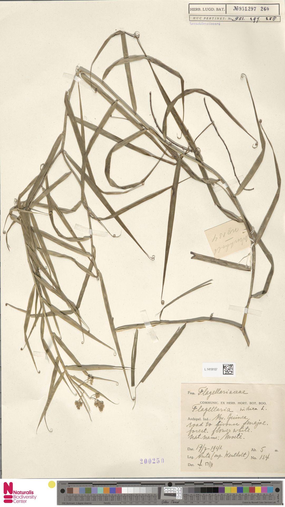 L.1419107 | Flagellaria indica L.