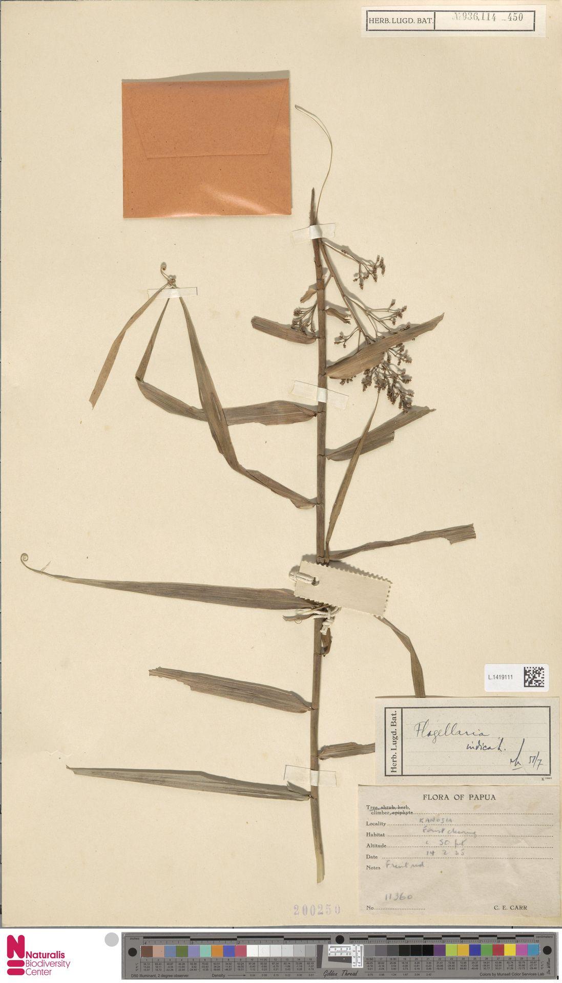 L.1419111 | Flagellaria indica L.