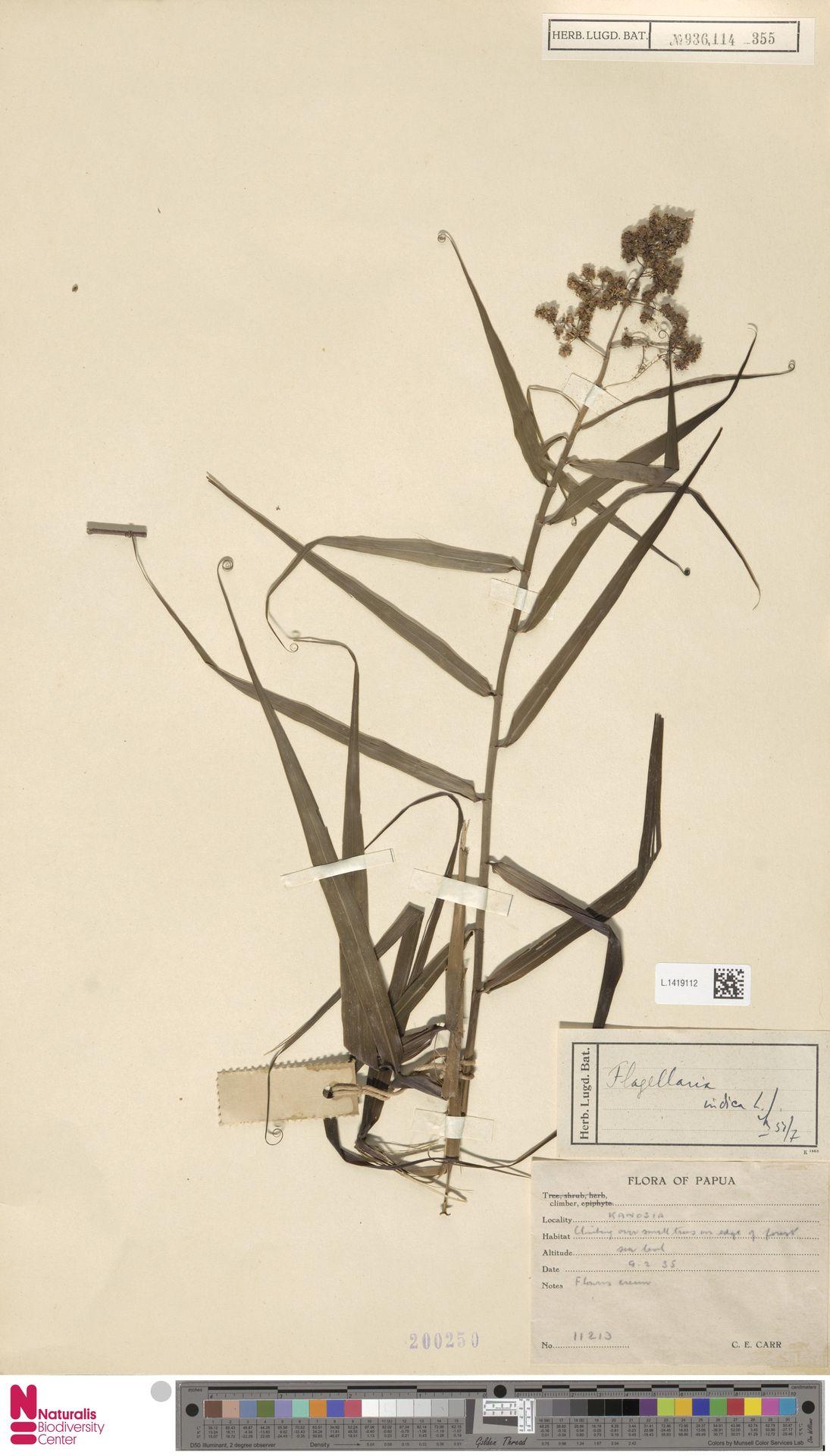 L.1419112 | Flagellaria indica L.