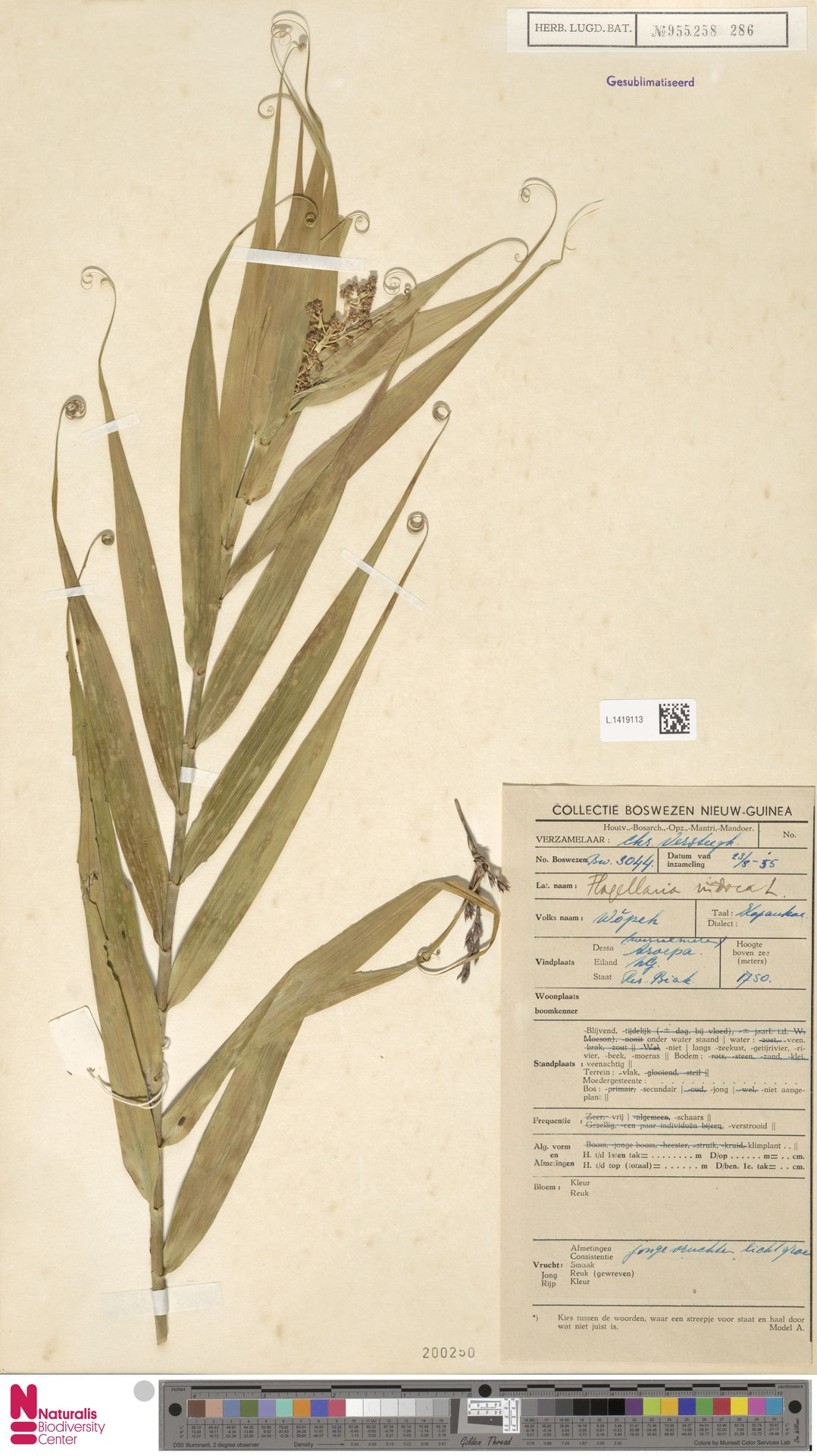 L.1419113 | Flagellaria indica L.