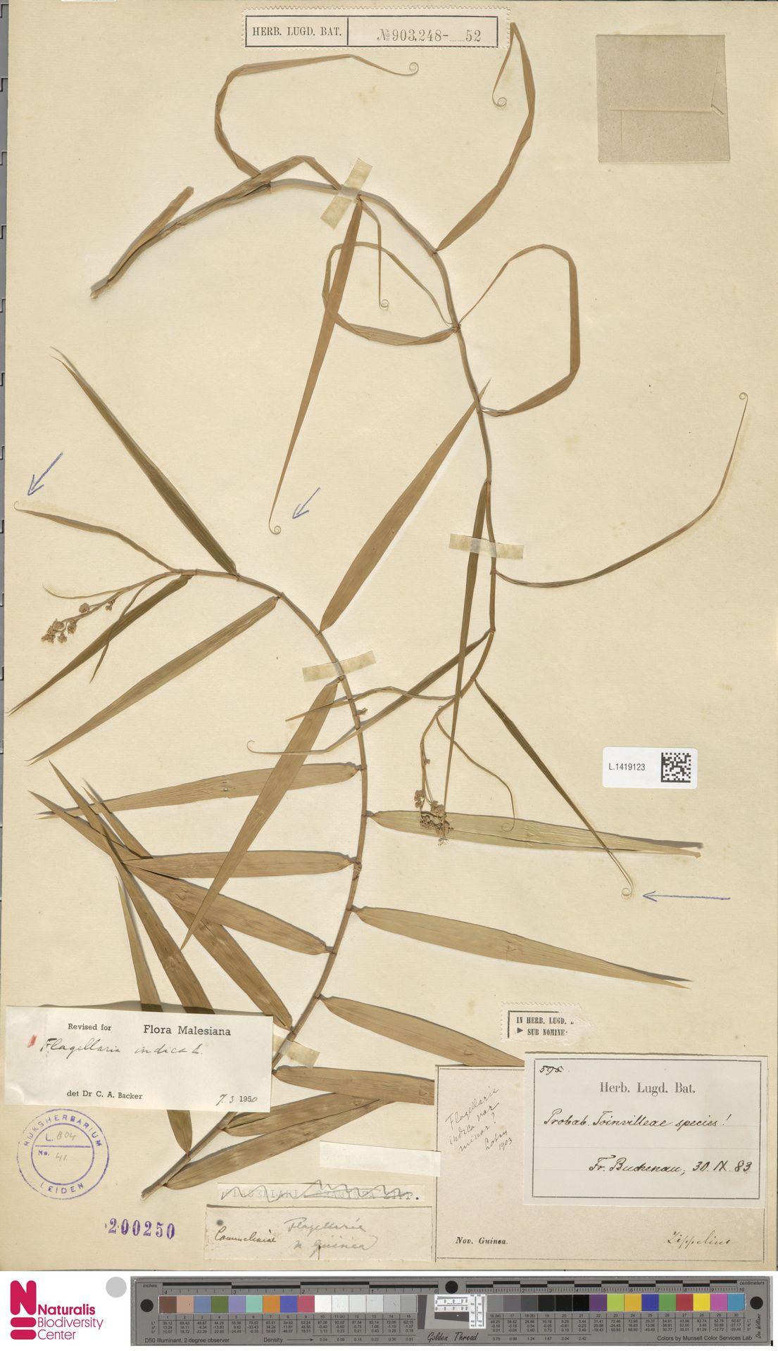 L.1419123 | Flagellaria indica L.
