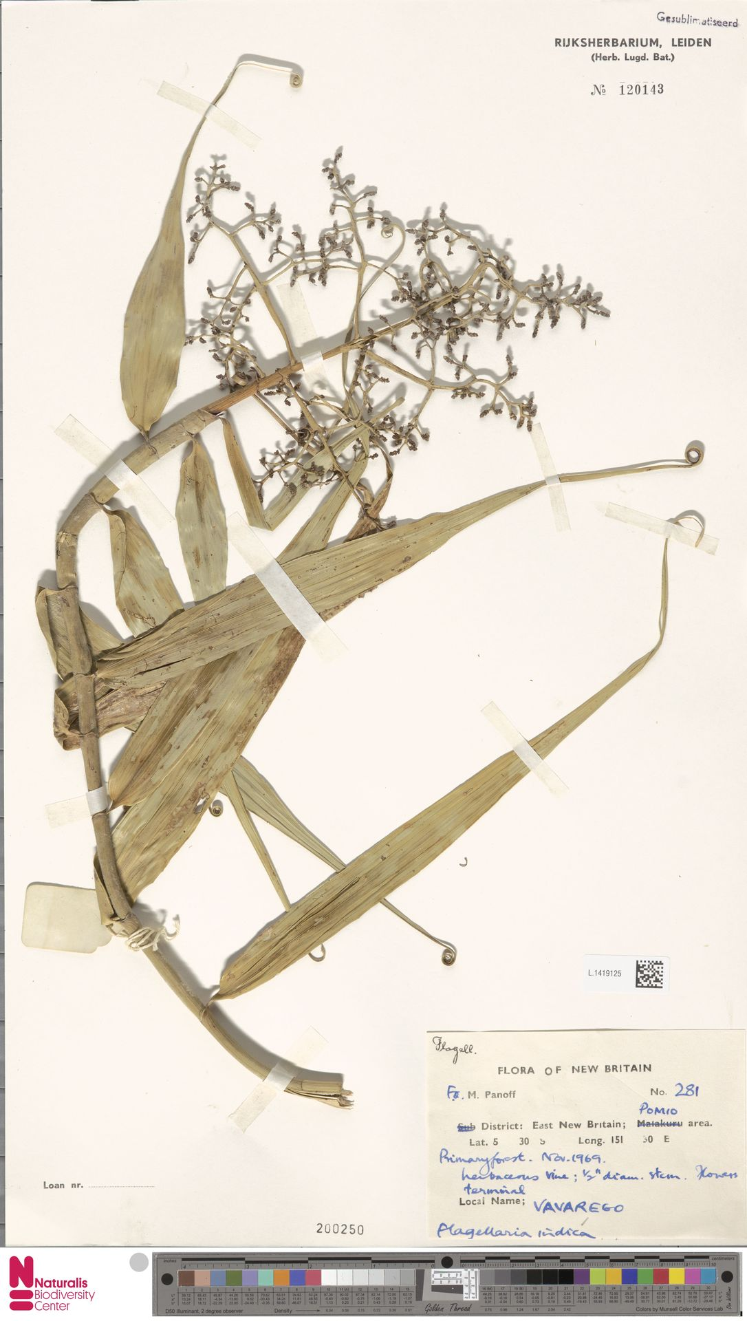 L.1419125 | Flagellaria indica L.