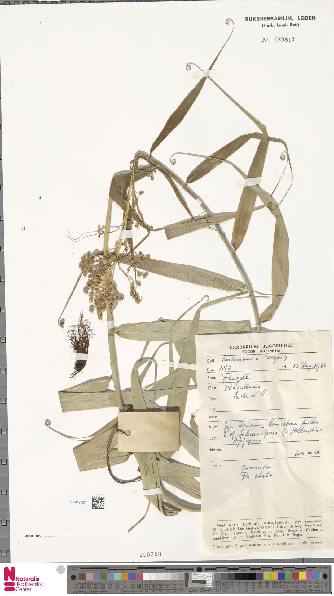 L.1419127   Flagellaria indica L.