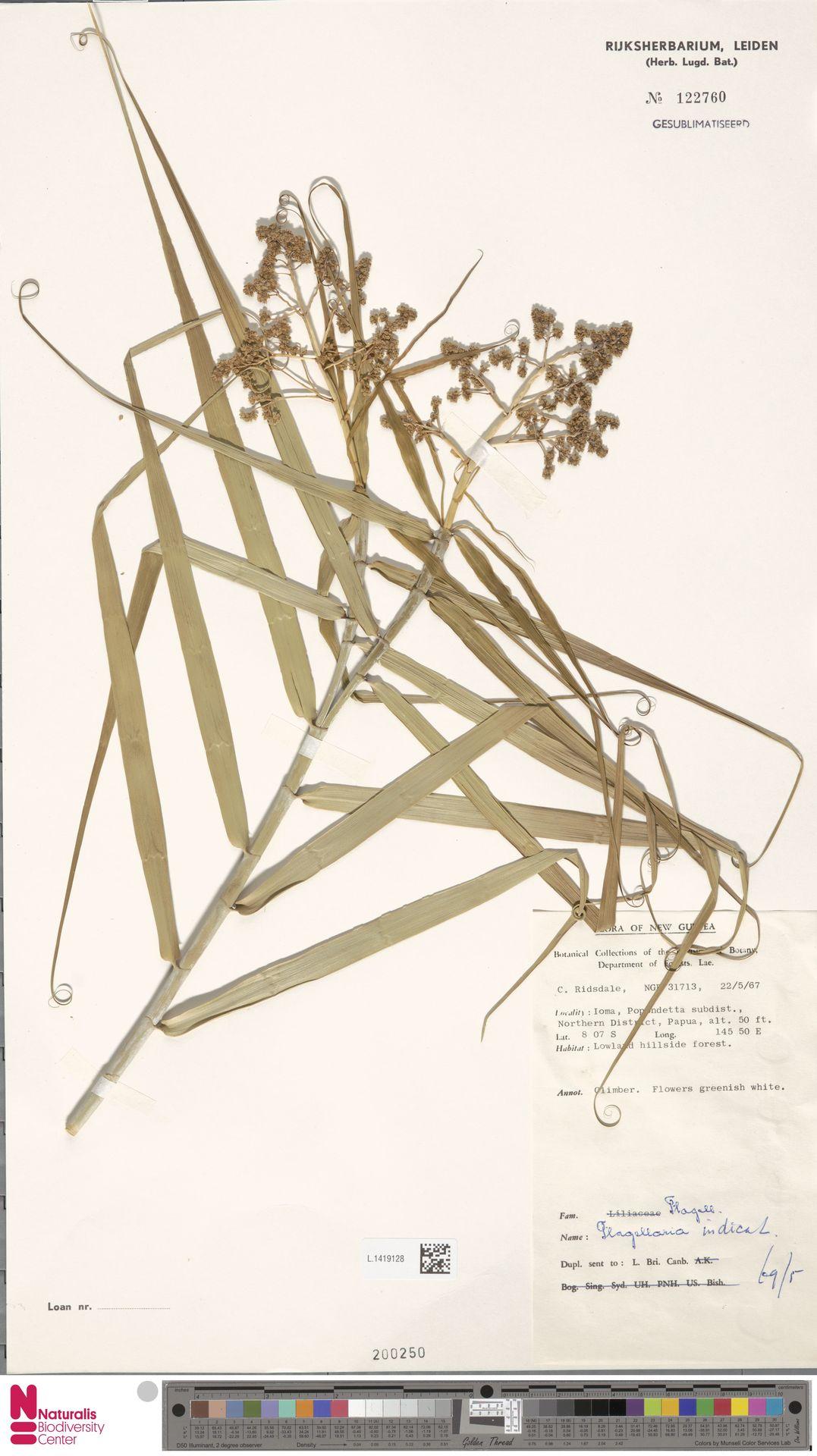 L.1419128 | Flagellaria indica L.