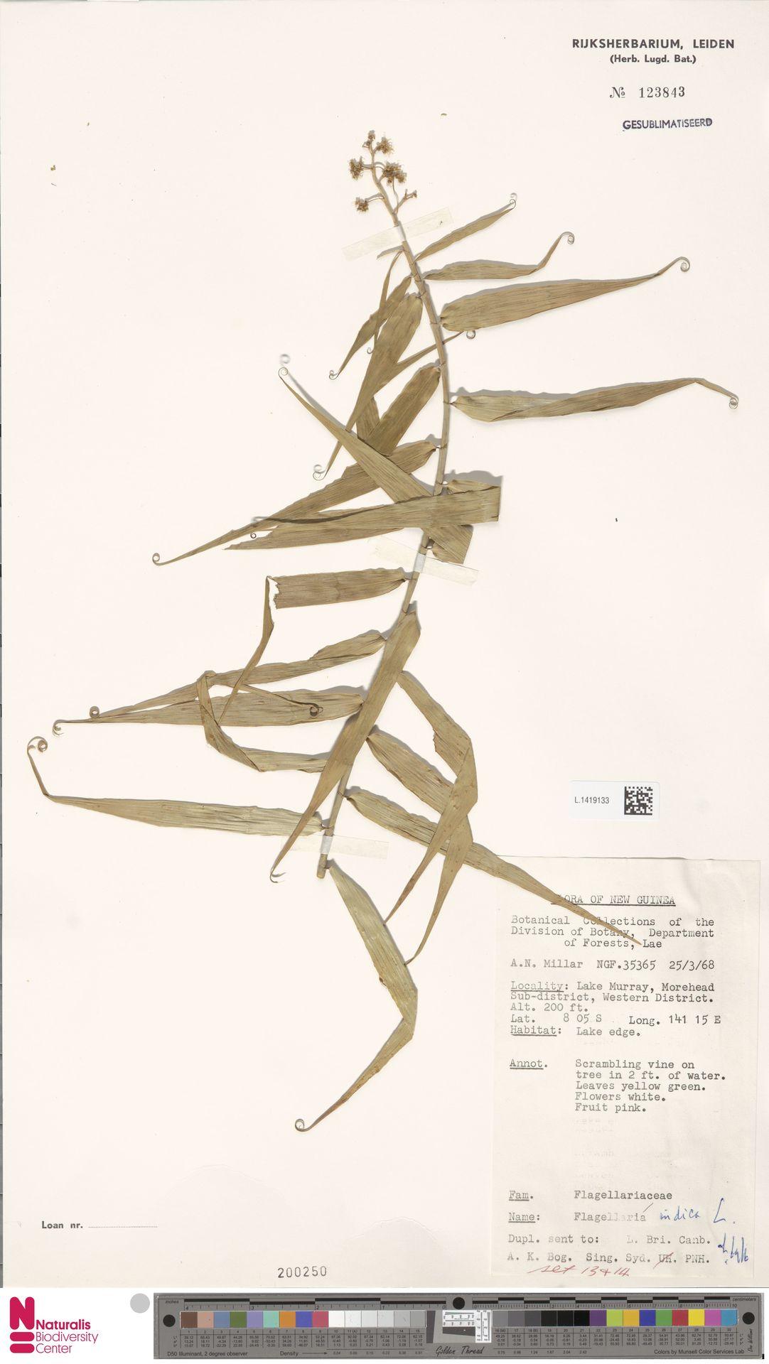 L.1419133 | Flagellaria indica L.