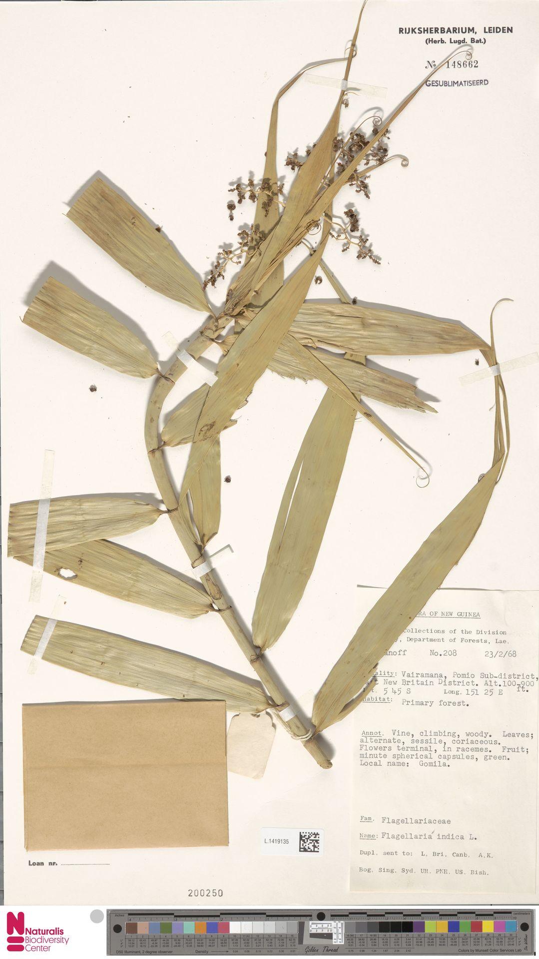 L.1419135   Flagellaria indica L.