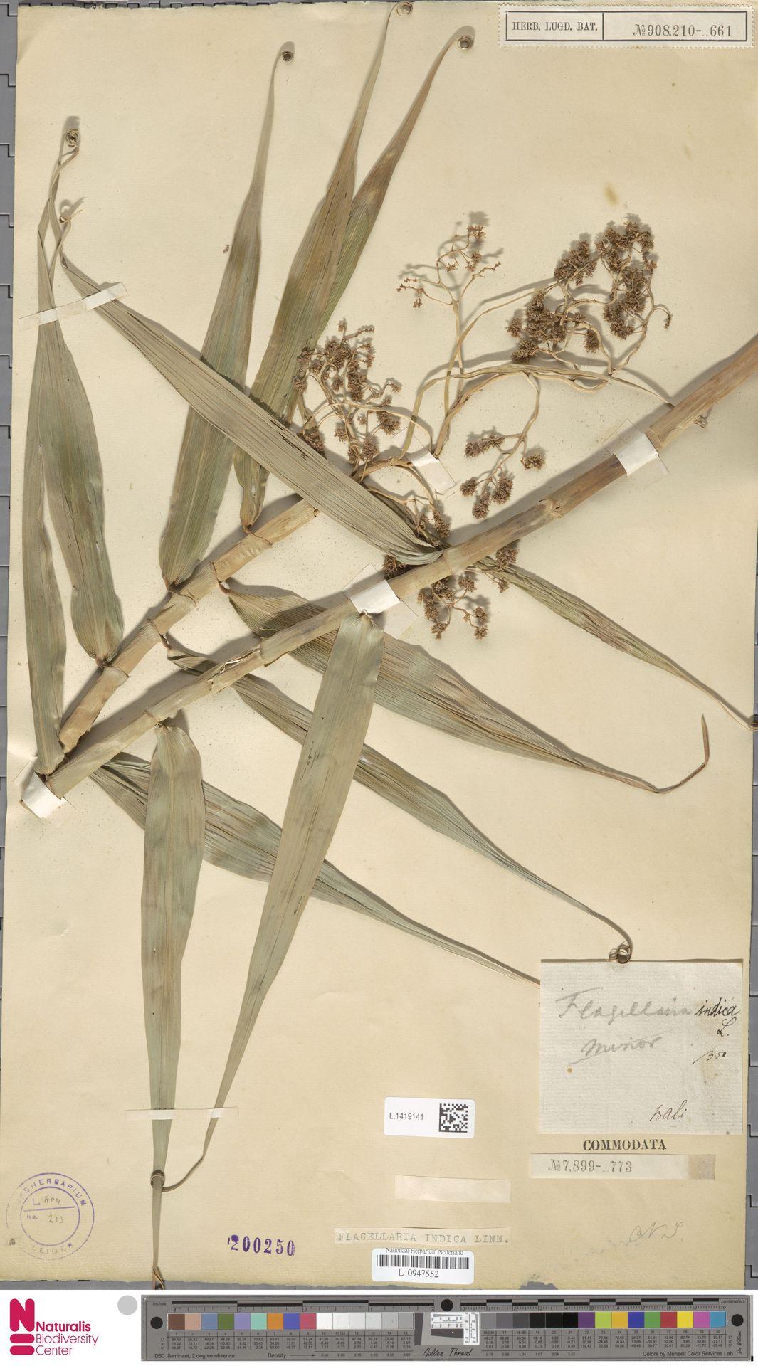 L.1419141   Flagellaria indica L.