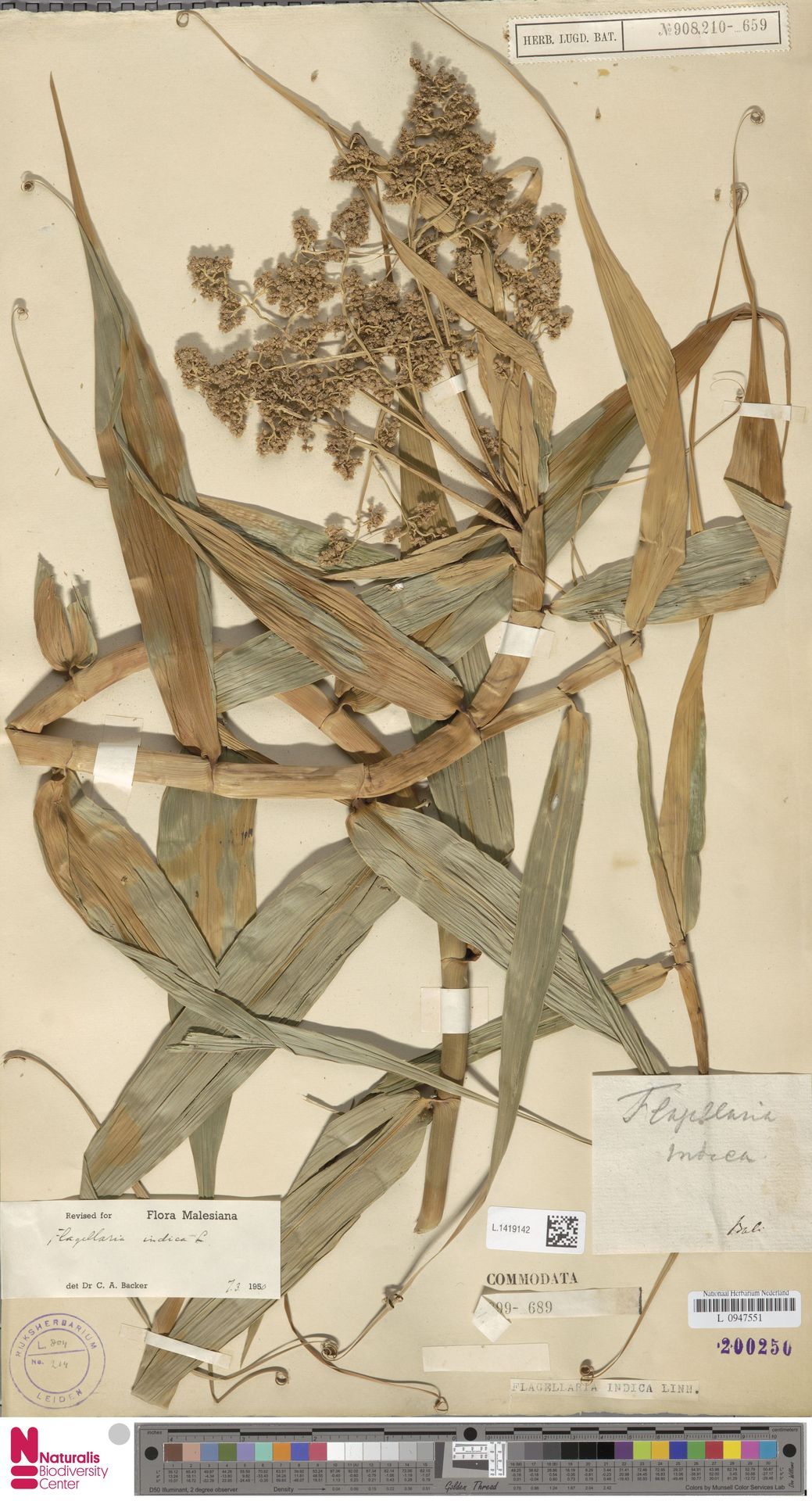 L.1419142   Flagellaria indica L.