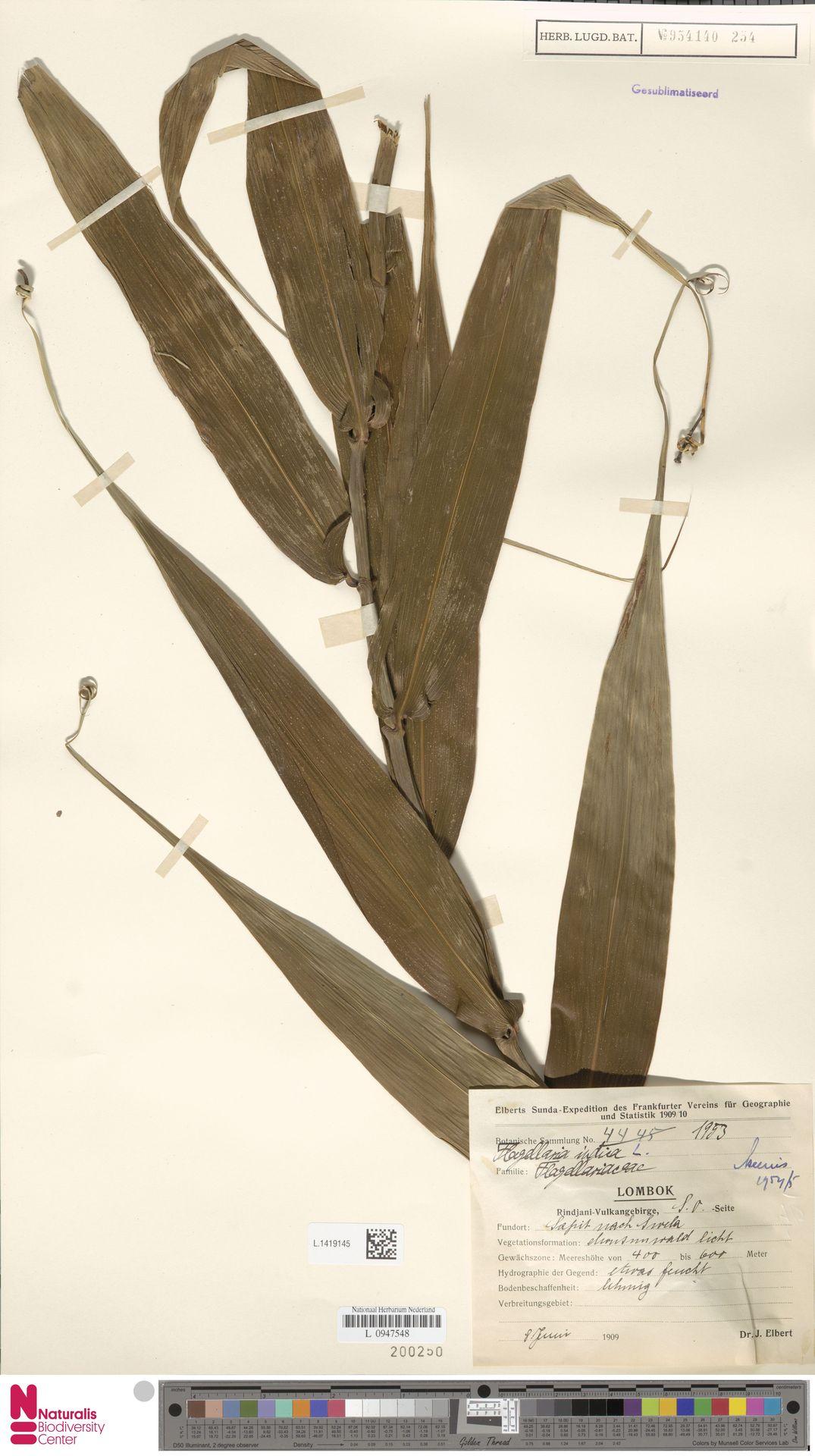 L.1419145   Flagellaria indica L.