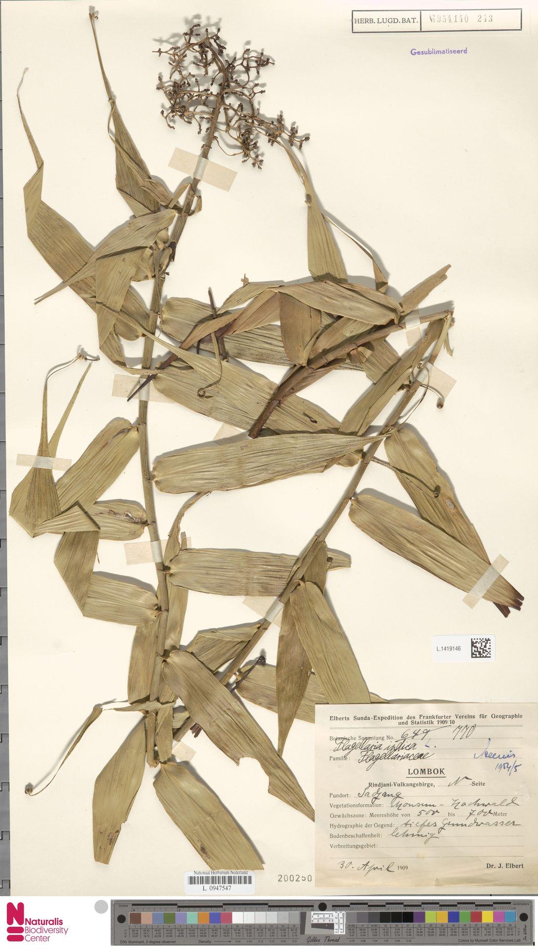 L.1419146 | Flagellaria indica L.