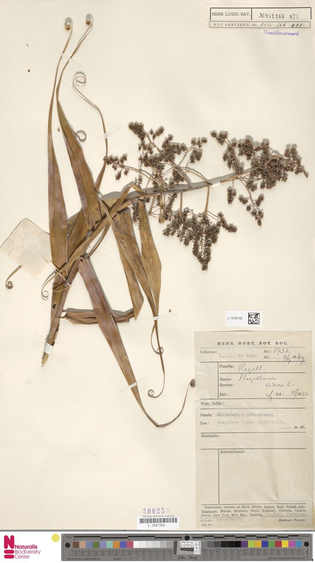 L.1419149 | Flagellaria indica L.
