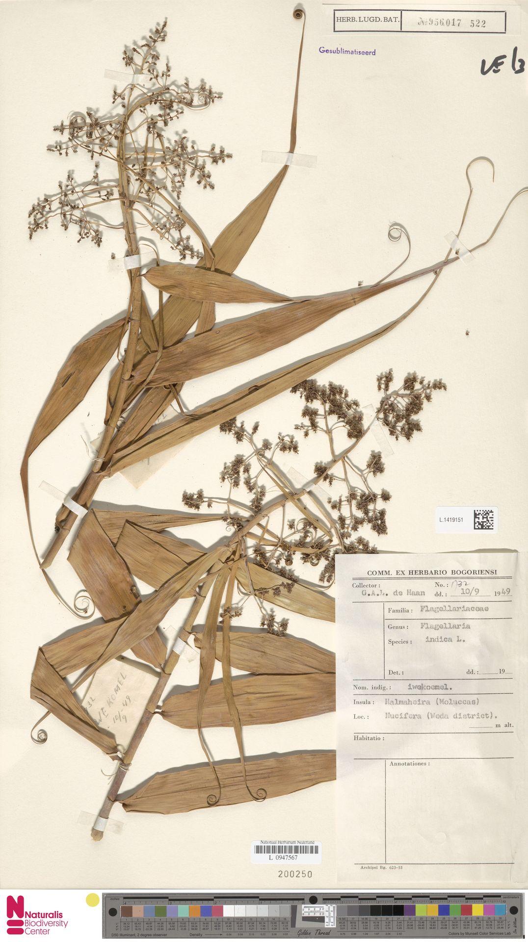 L.1419151 | Flagellaria indica L.