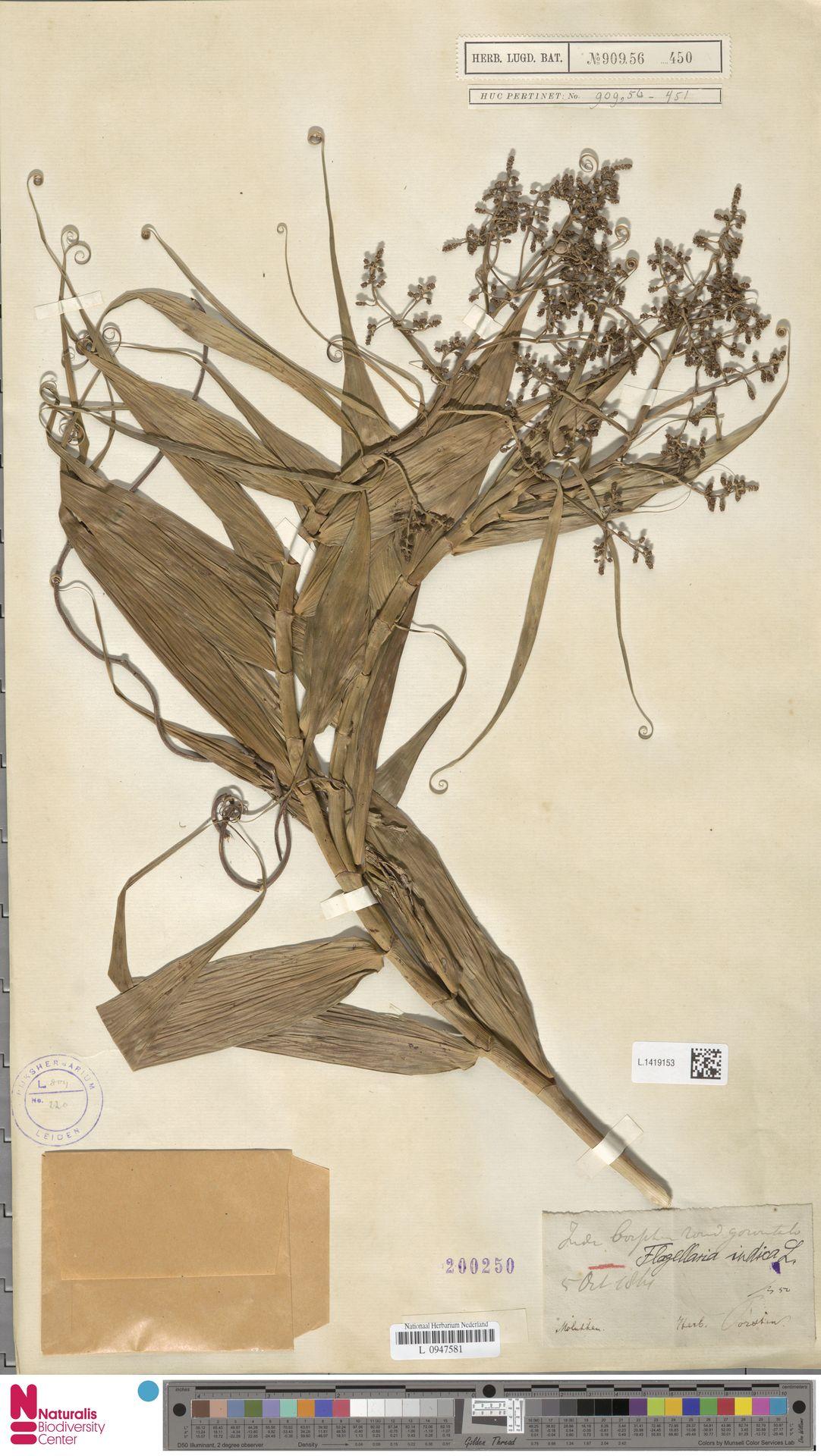 L.1419153   Flagellaria indica L.