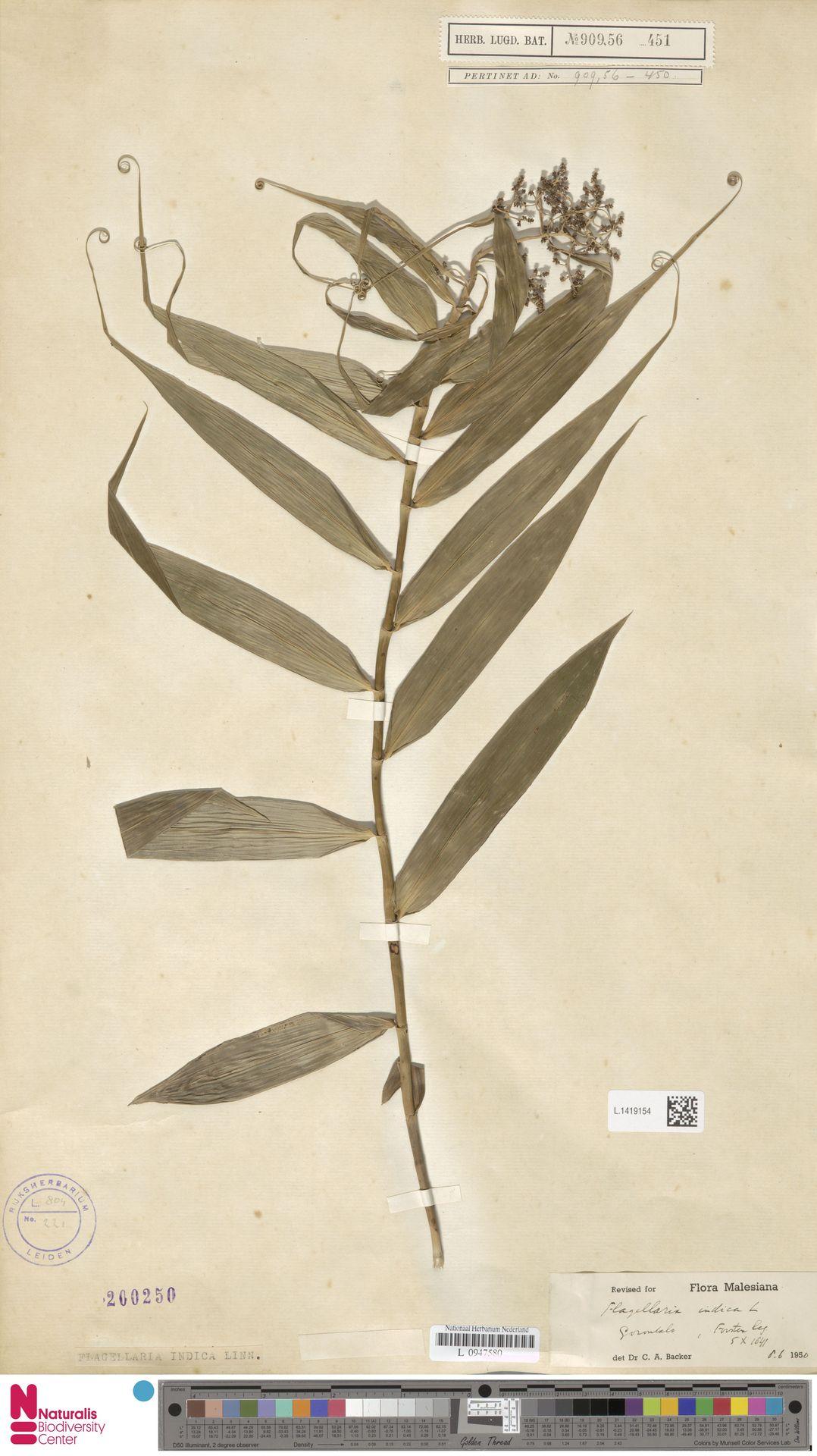 L.1419154 | Flagellaria indica L.