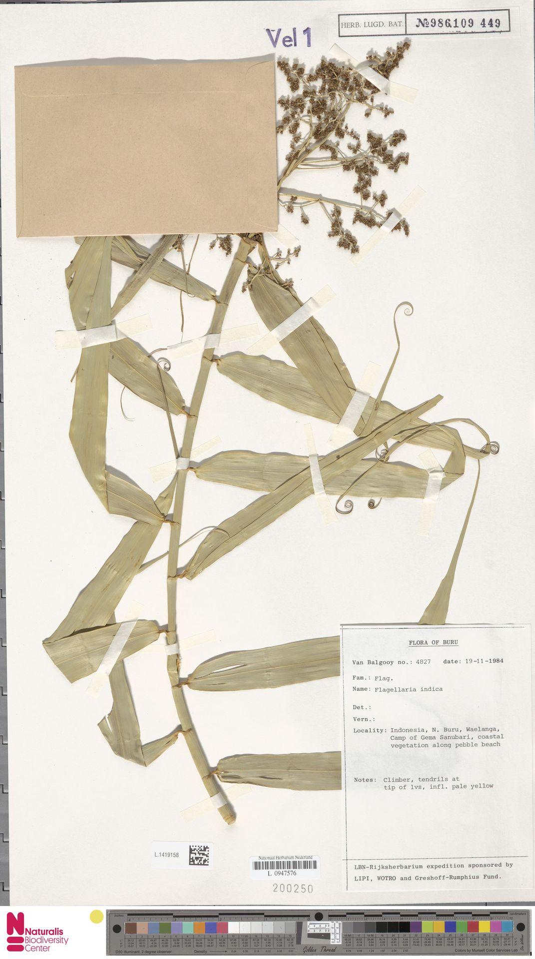 L.1419158 | Flagellaria indica L.