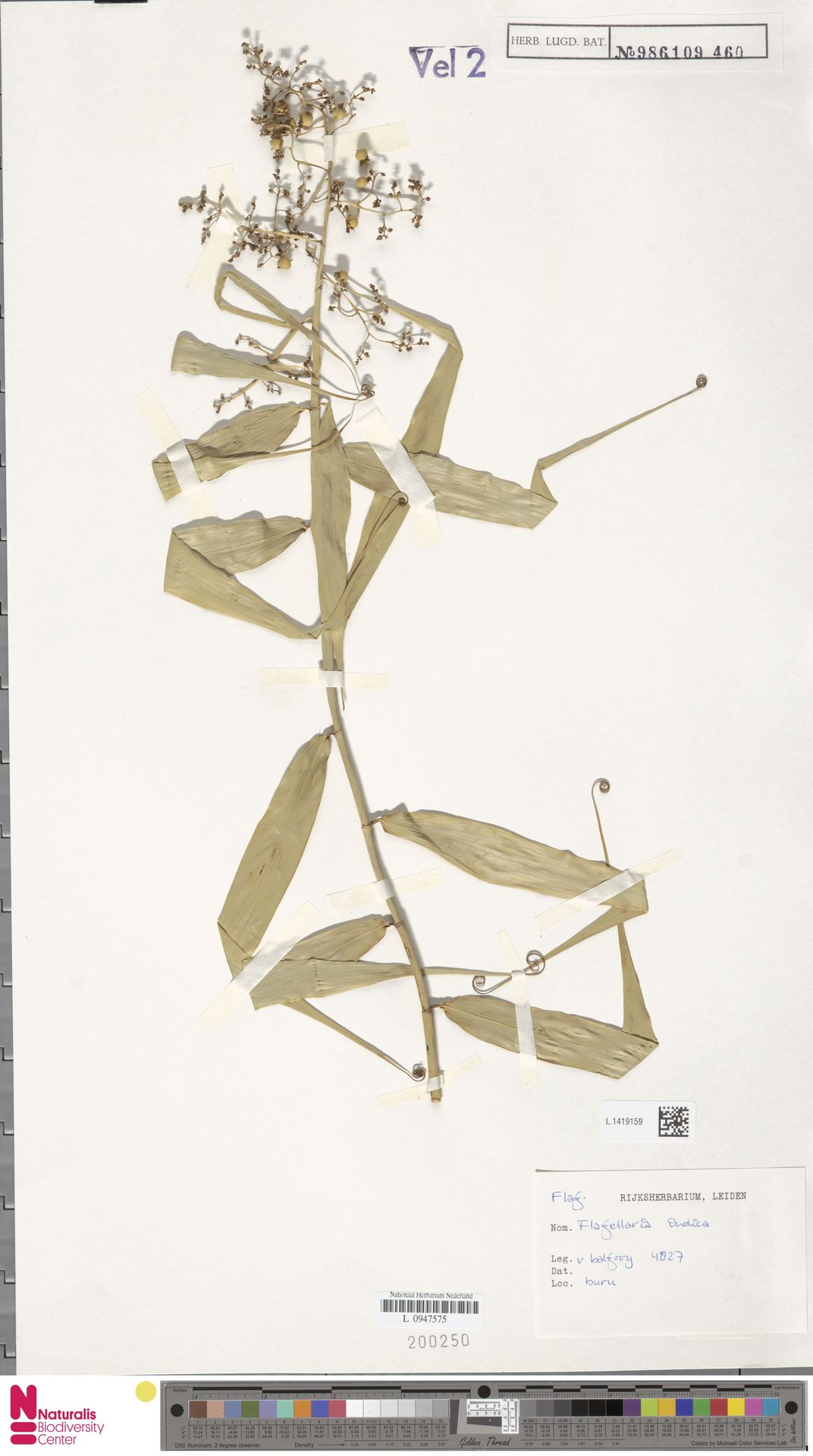 L.1419159 | Flagellaria indica L.