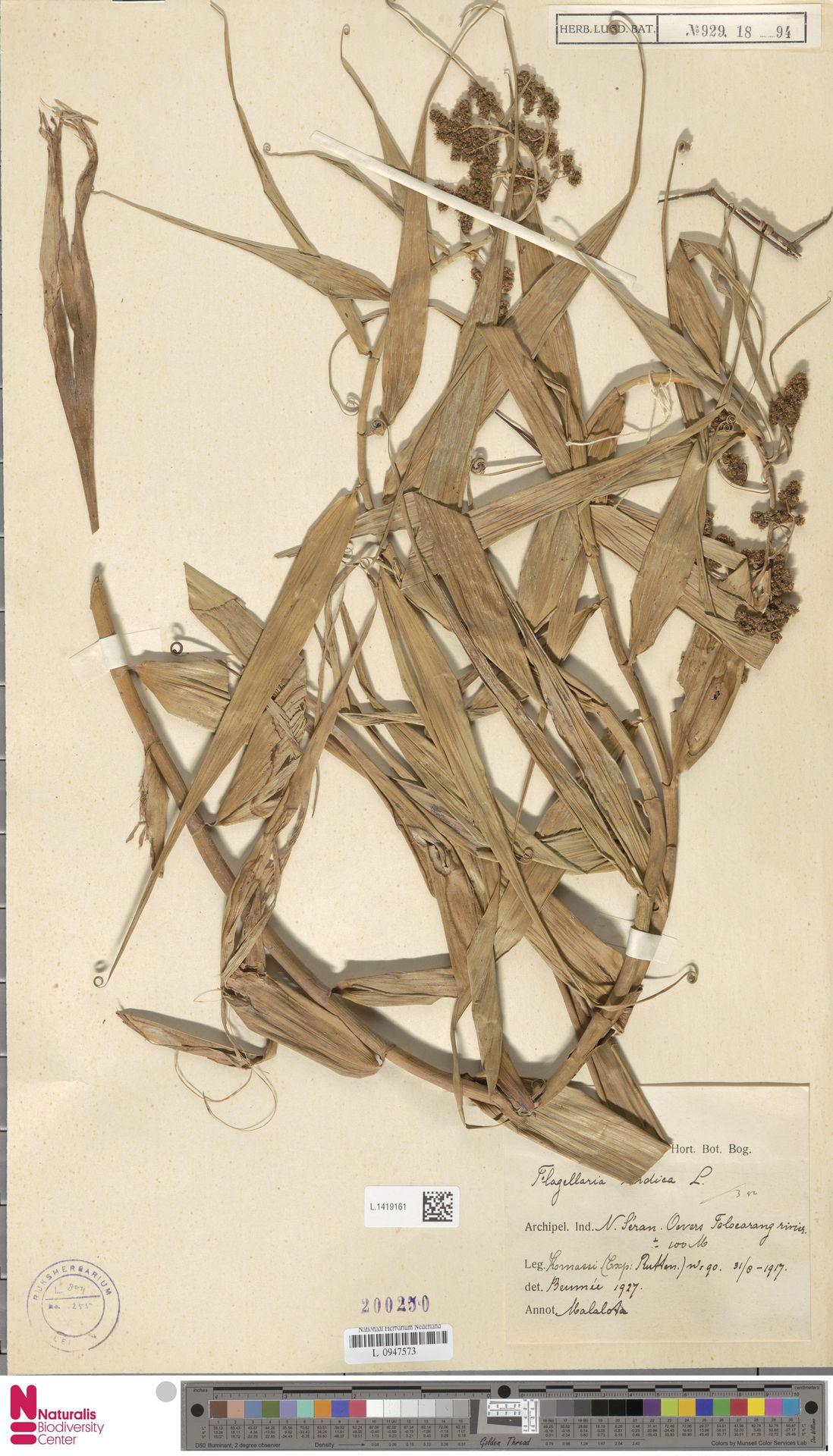 L.1419161 | Flagellaria indica L.