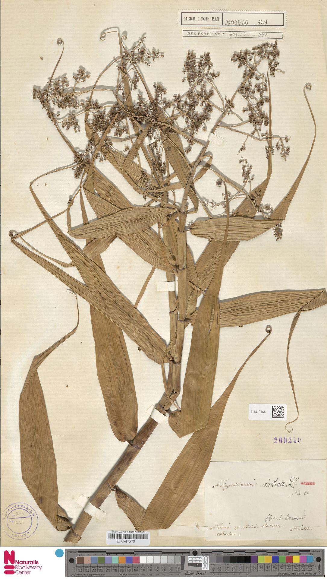 L.1419164 | Flagellaria indica L.