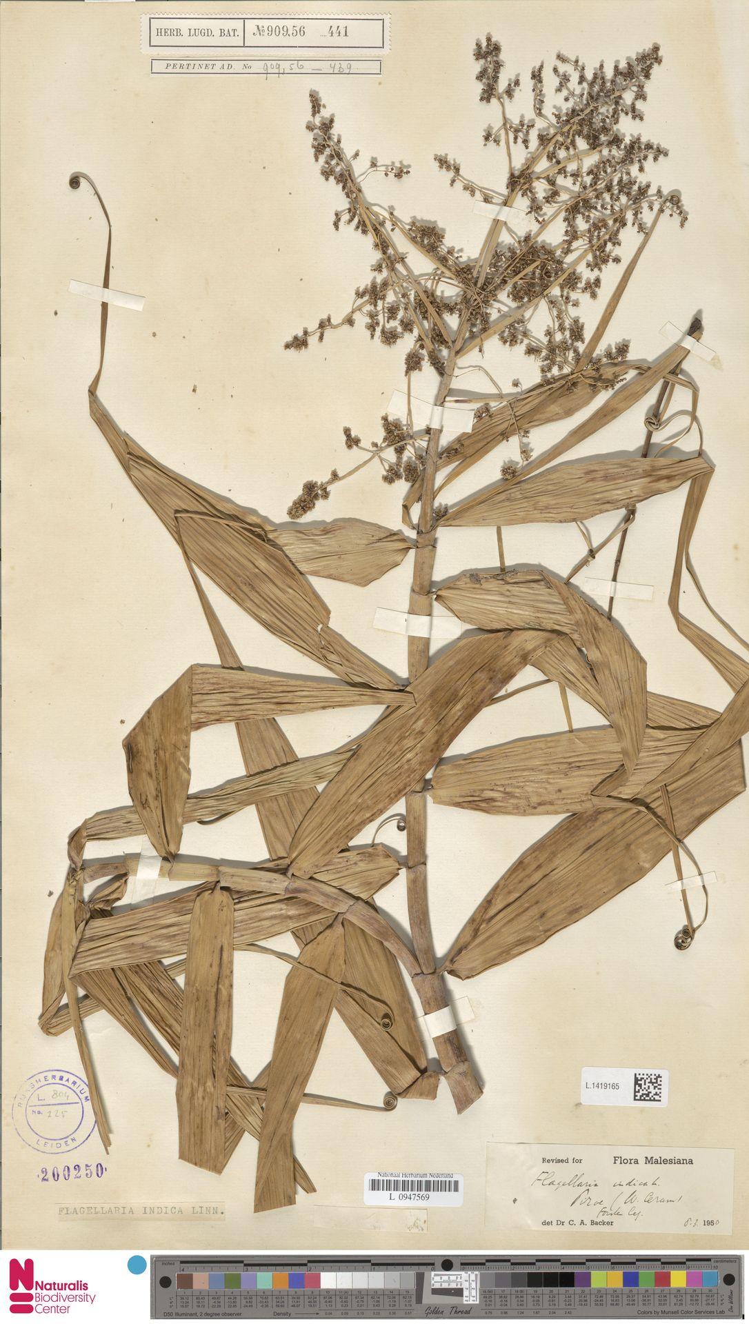 L.1419165 | Flagellaria indica L.
