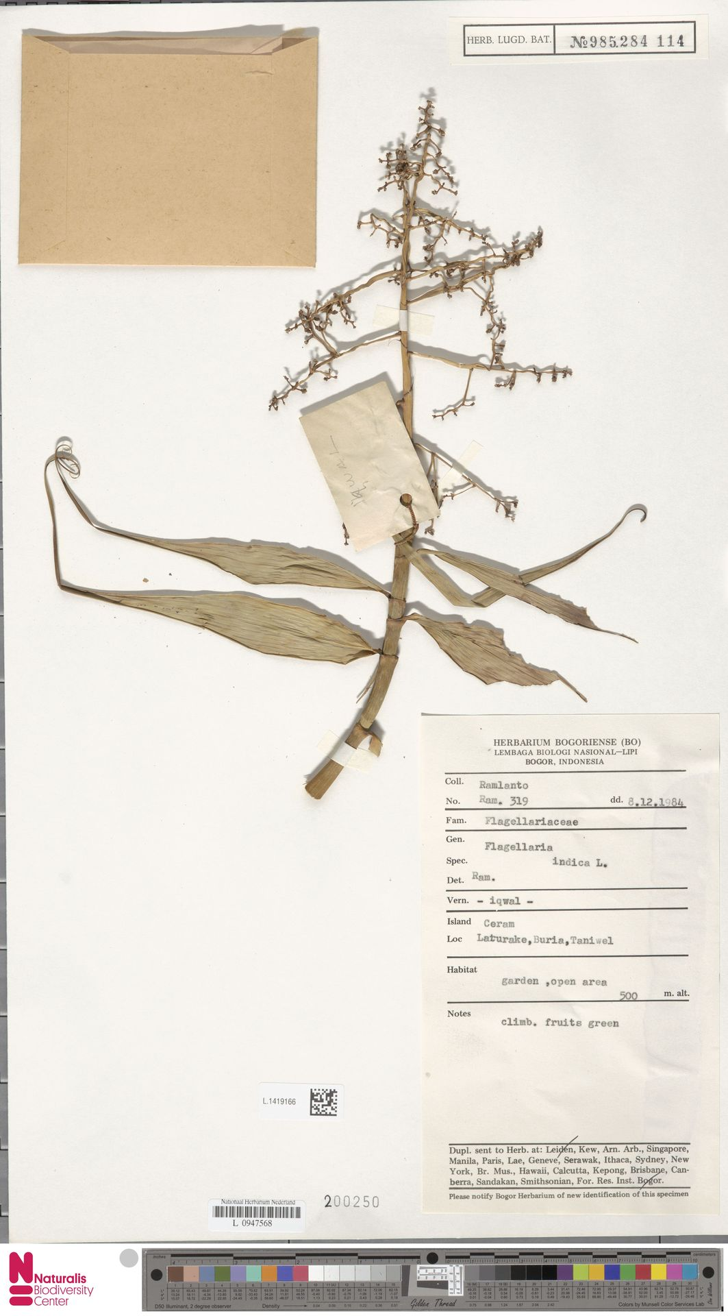 L.1419166 | Flagellaria indica L.