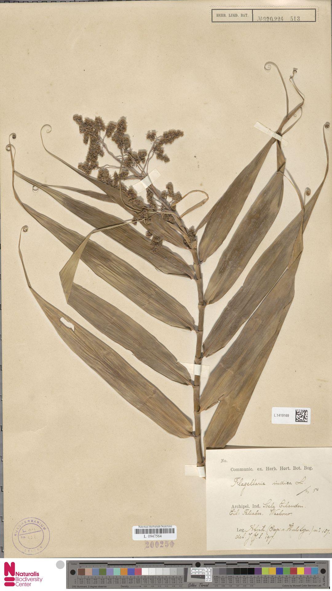 L.1419169 | Flagellaria indica L.