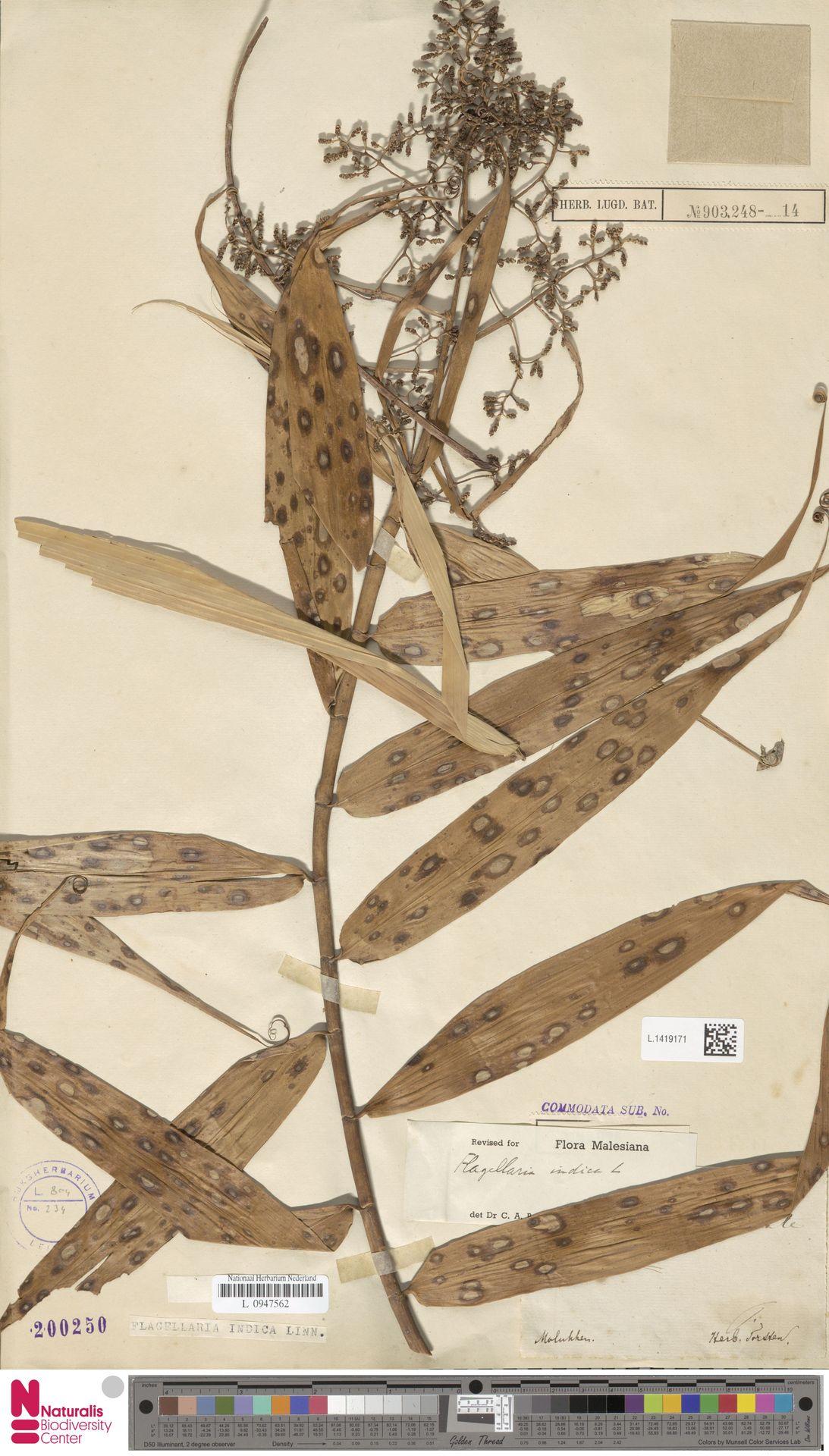 L.1419171 | Flagellaria indica L.