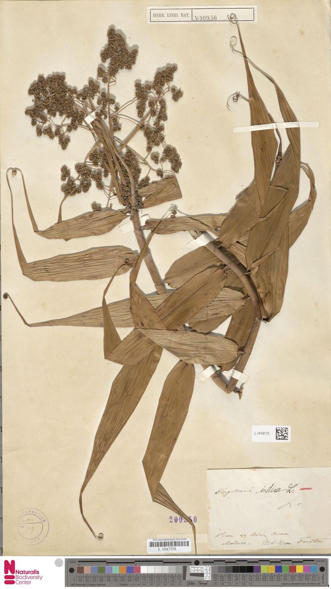 L.1419175   Flagellaria indica L.