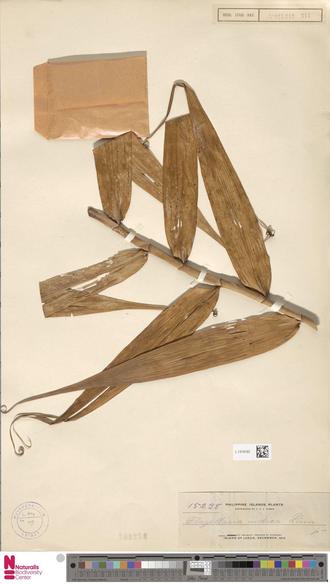 L.1419182 | Flagellaria indica L.