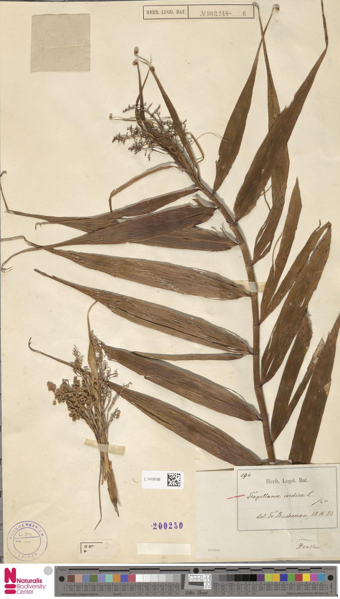 L.1419186 | Flagellaria indica L.